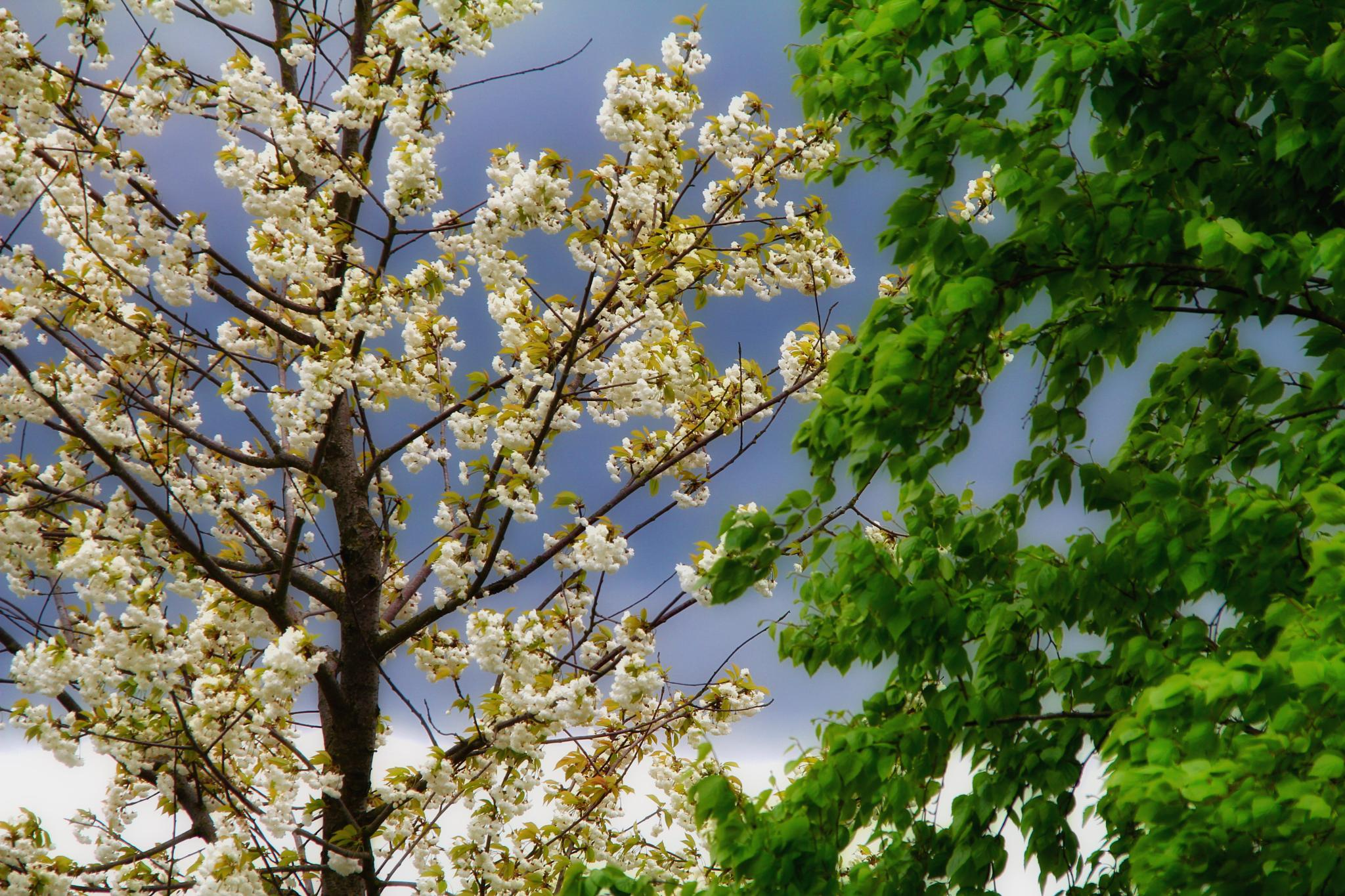 Photo in Nature #spring #in flowers #blossoms #bremen #tree