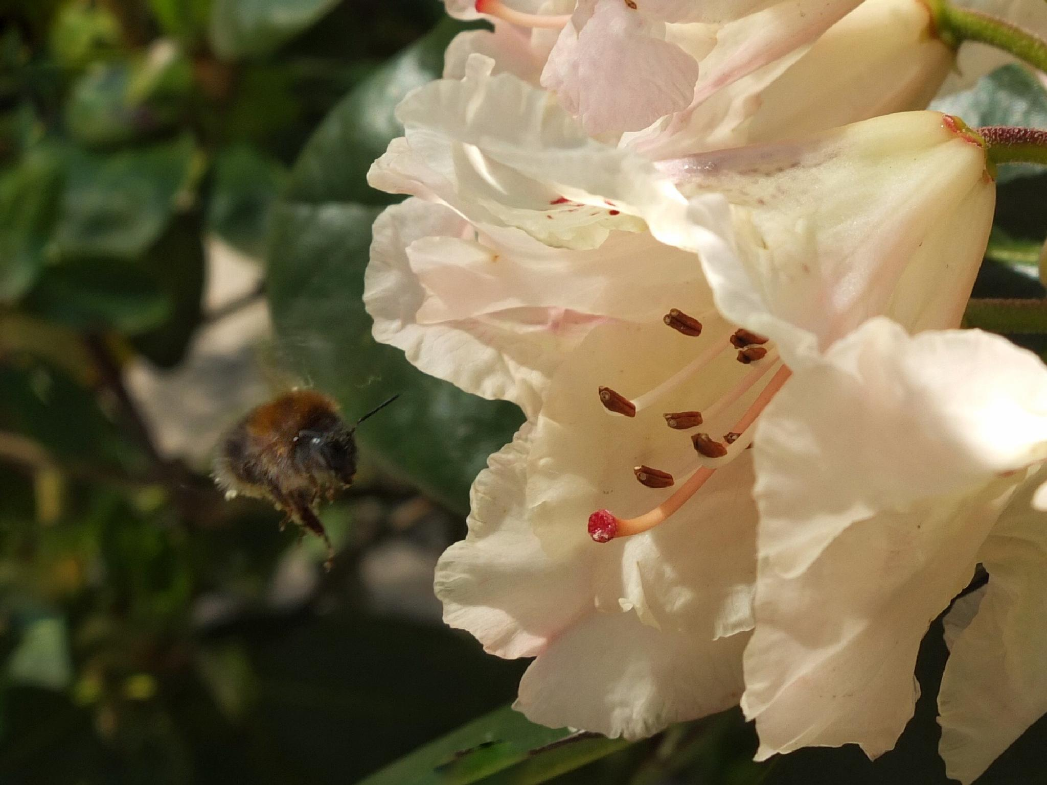 Bee at Rhododendron by Harry Schäfer
