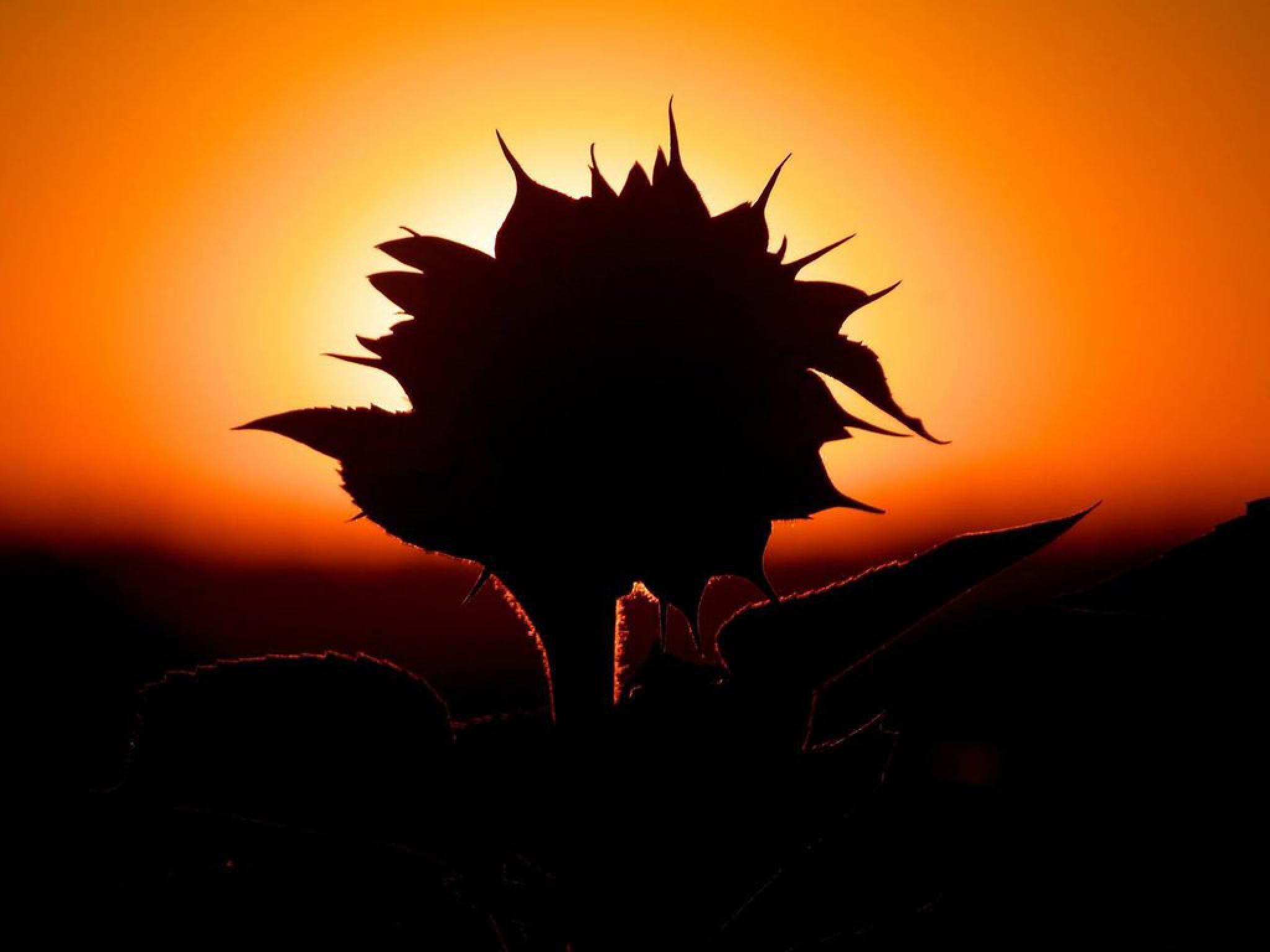 Sunflower by Kenéz Imre