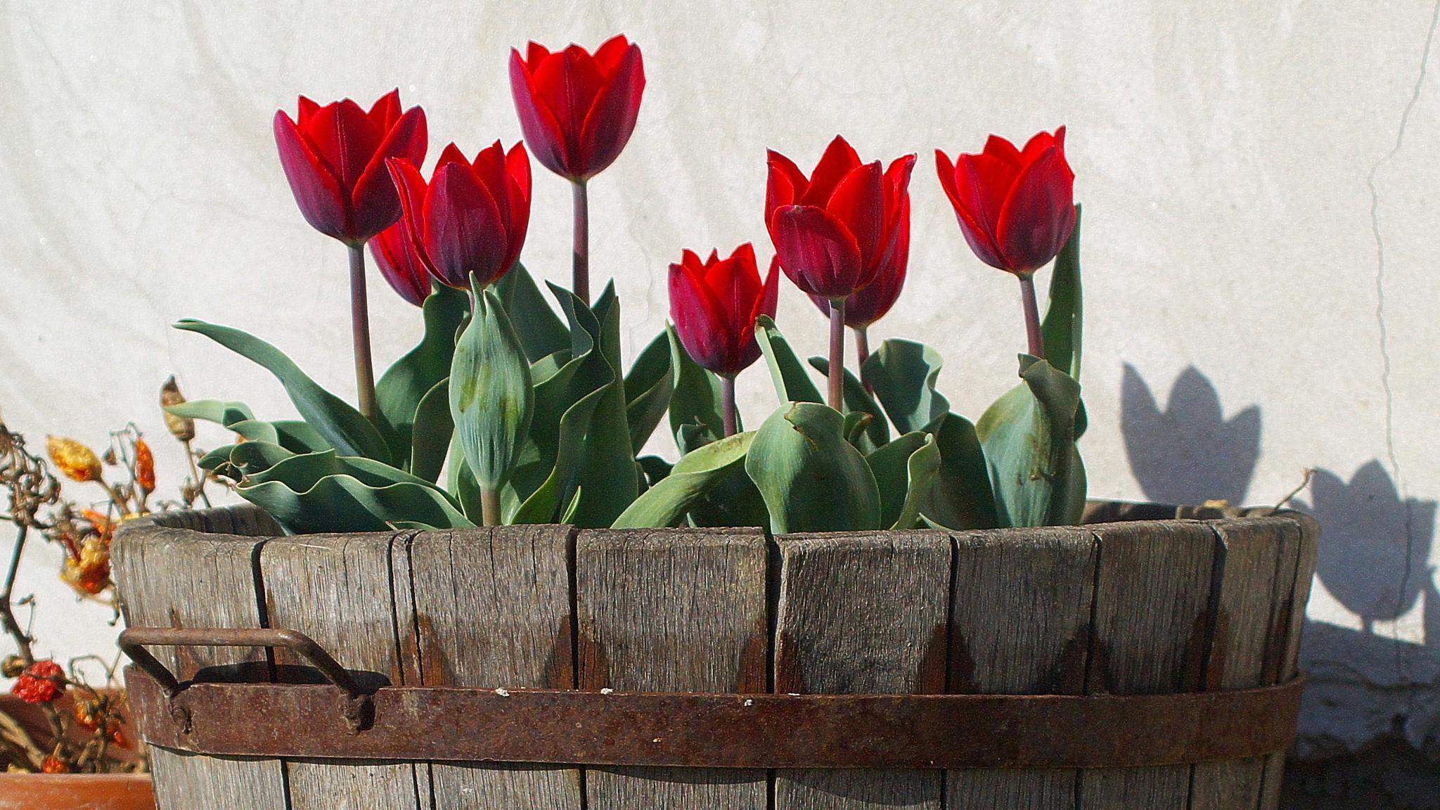 Tulips by Kenéz Imre
