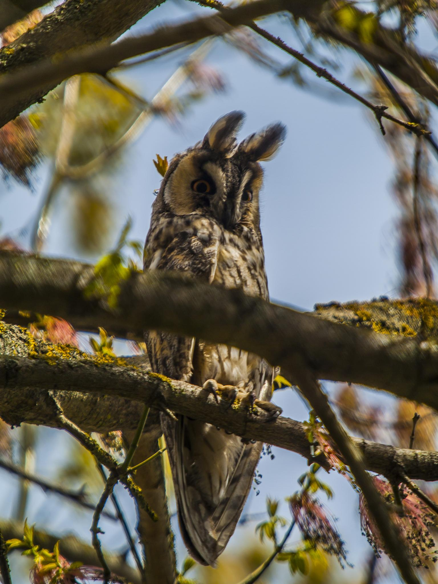 Long-eared owl (the ears waving in the wind) by Kenéz Imre