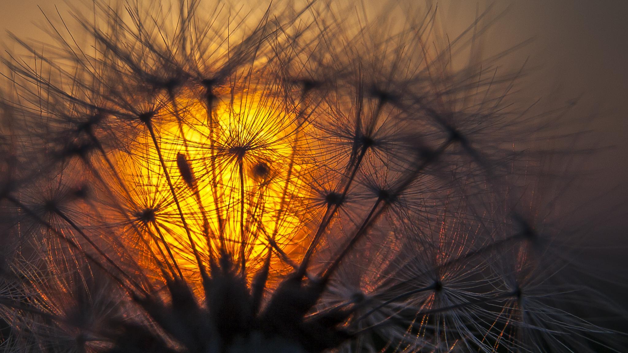 Glowing dandelion by Kenéz Imre