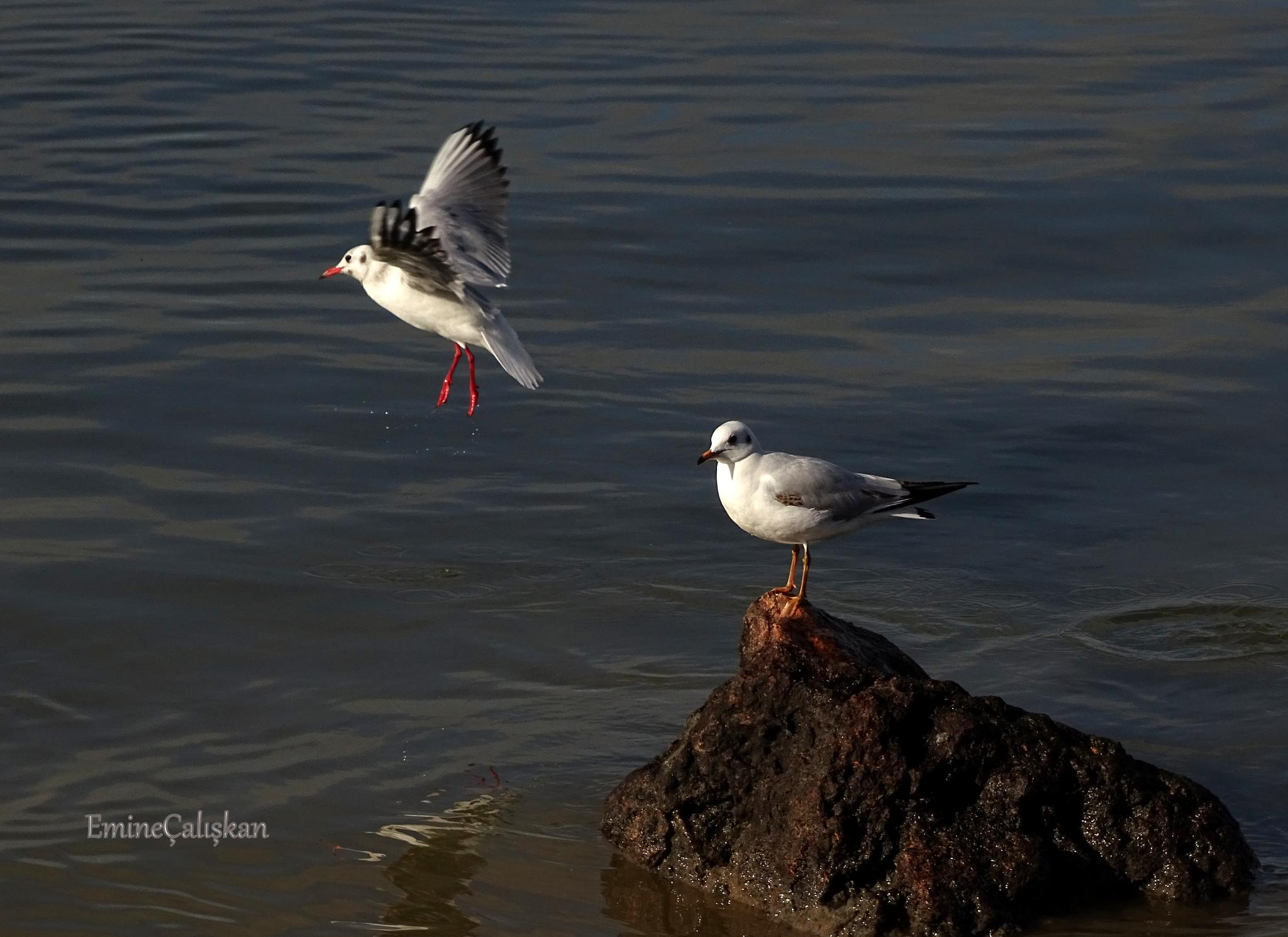 seagull by emine