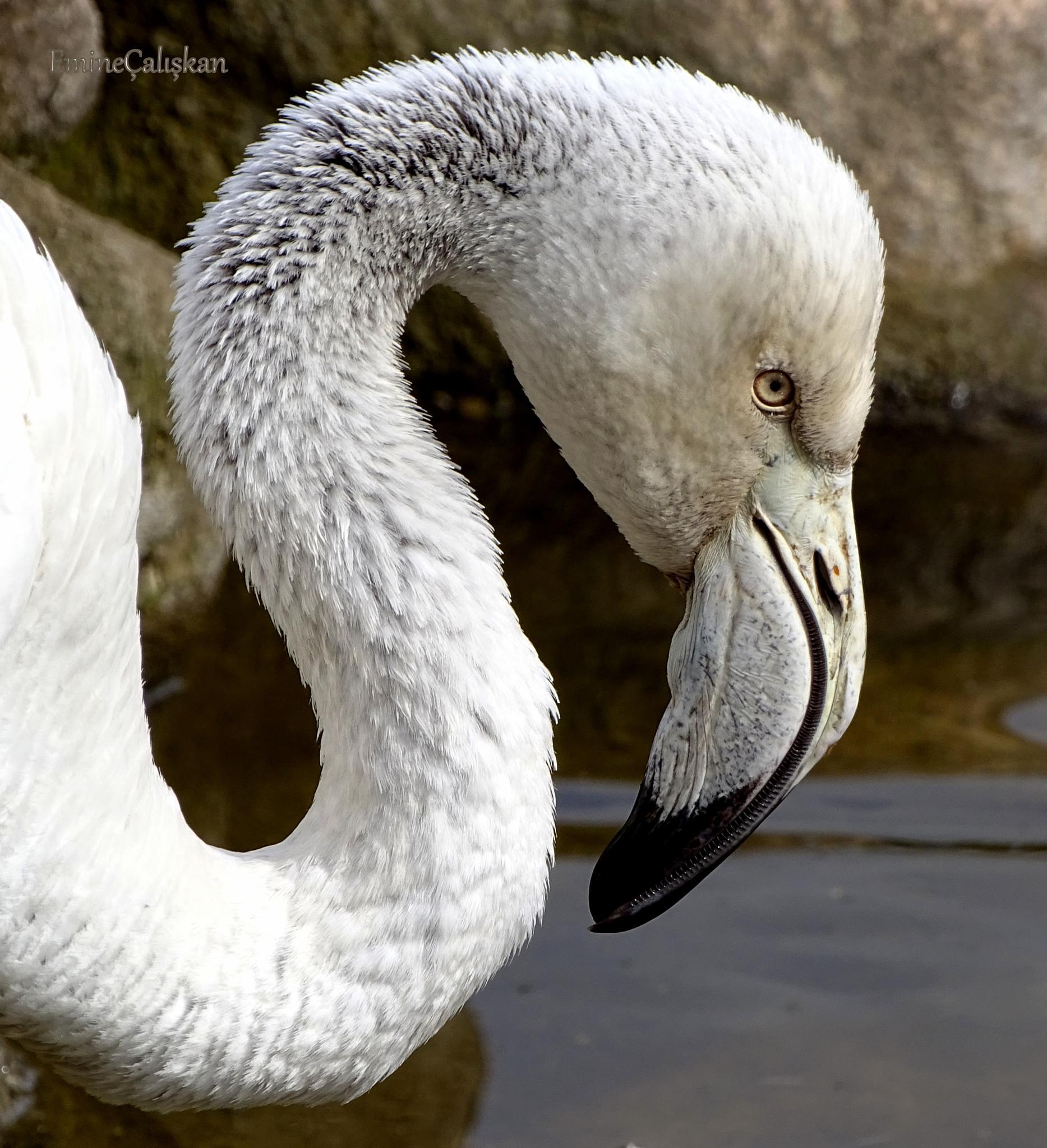 flamingo by emine