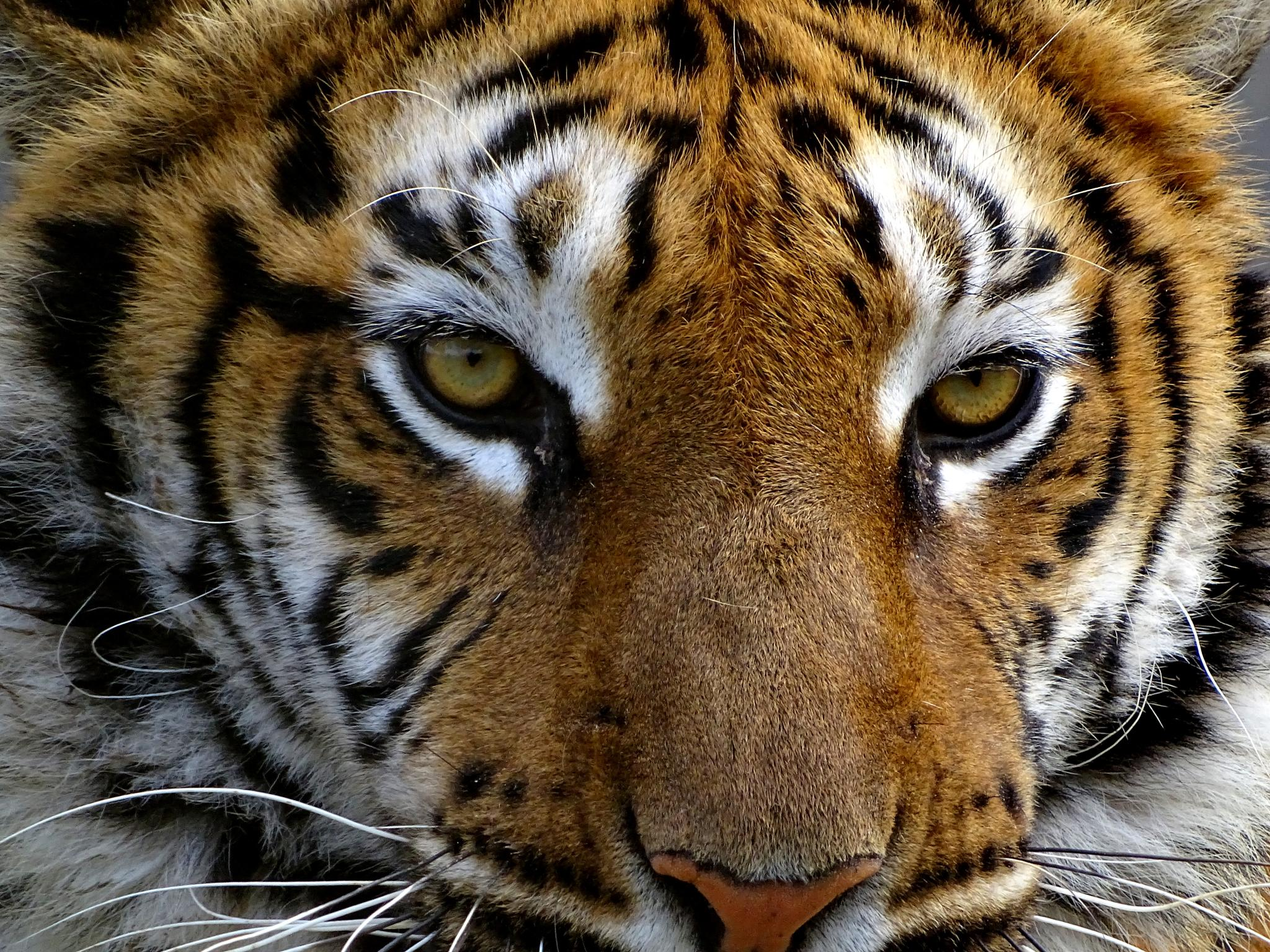 tiger by emine