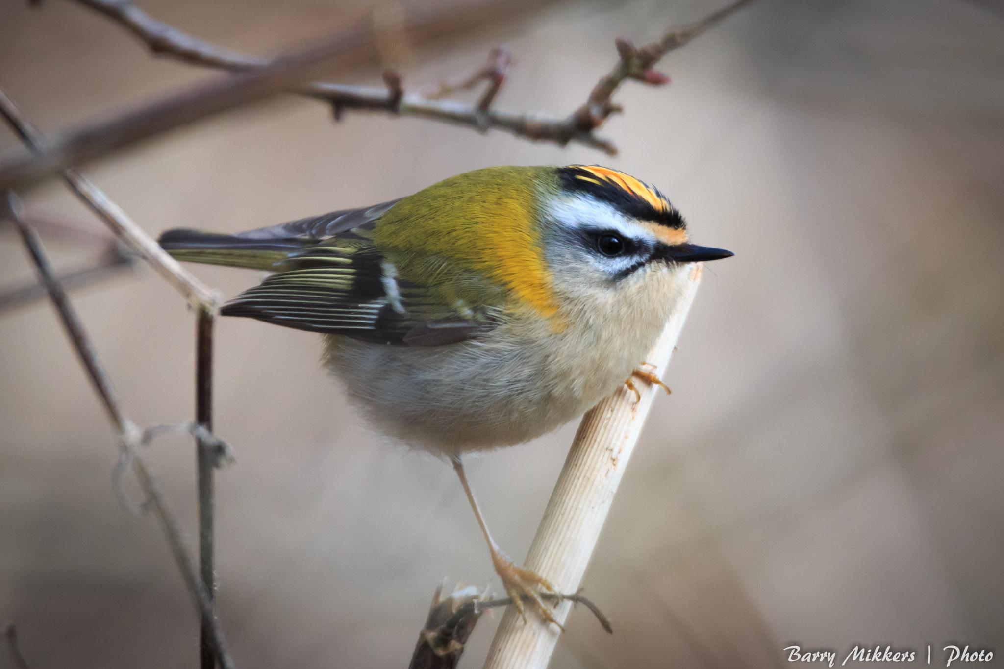 Common firecrest (Regulus ignicapilla) by barry.mikkers