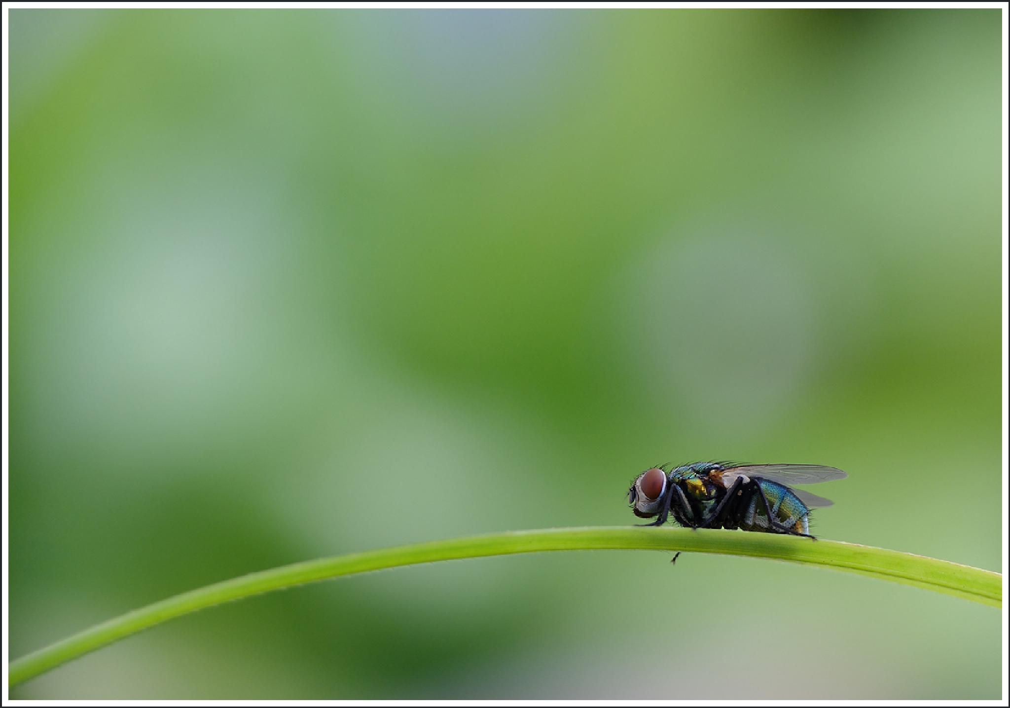 The Fly by Ali Hoolash