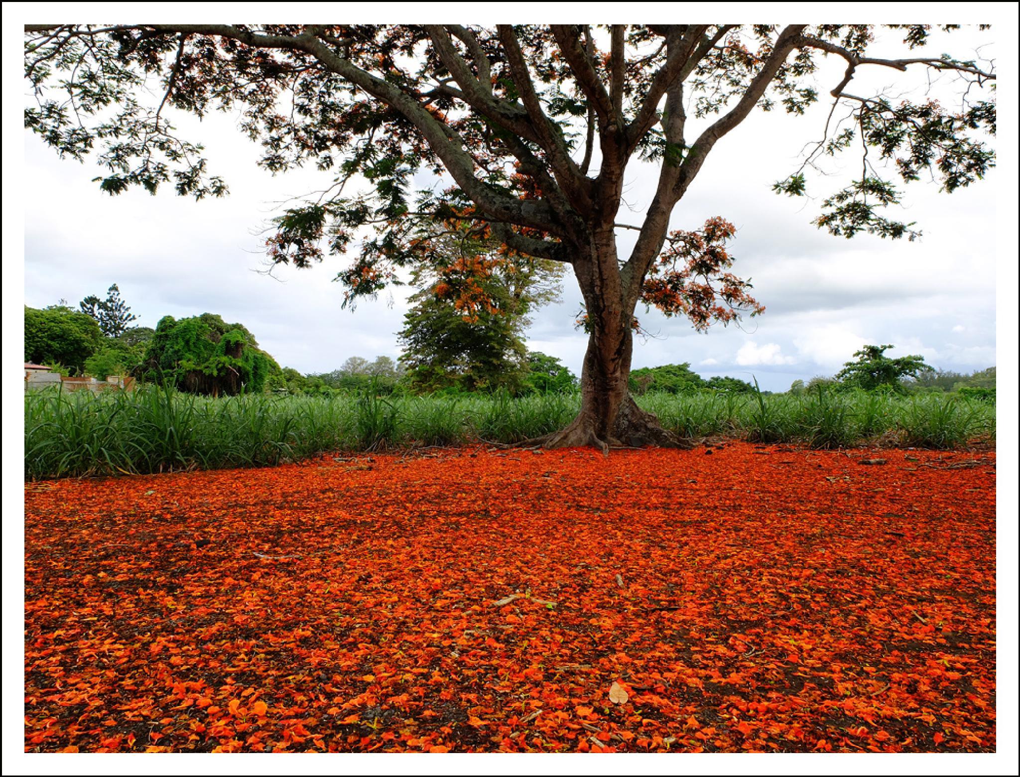 The Flame Tree by Ali Hoolash
