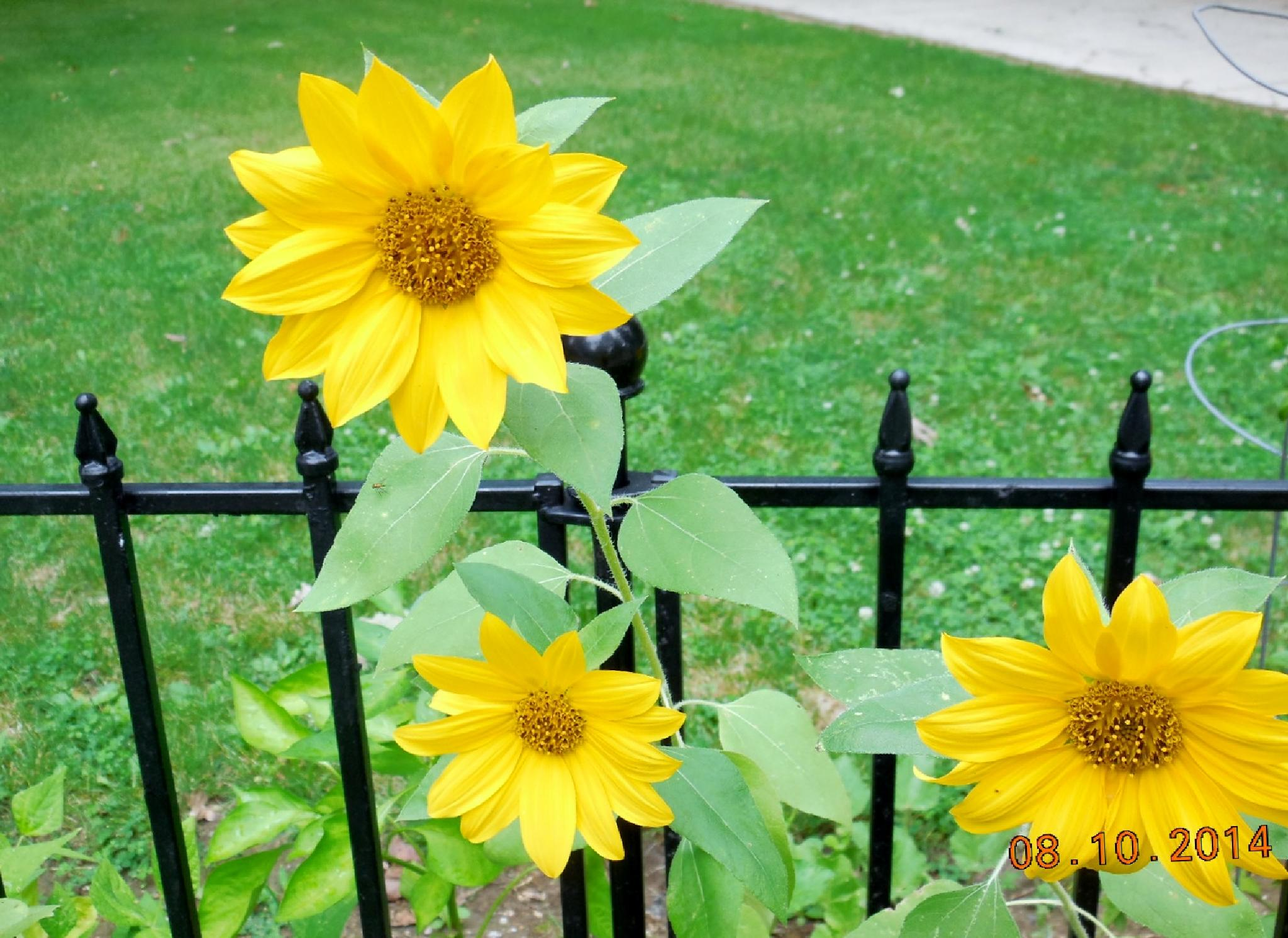 Sunflowers by larbet44
