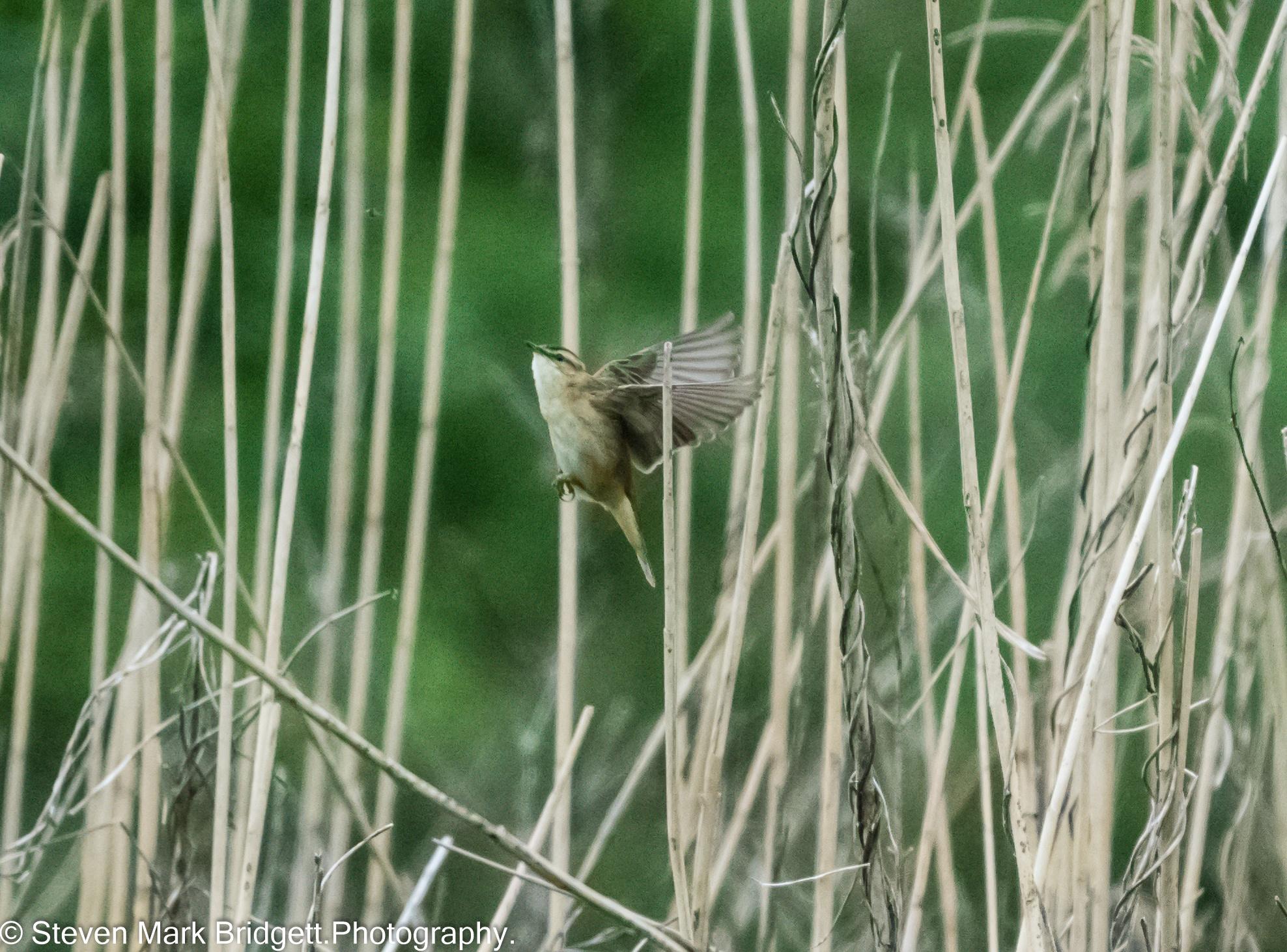 """"""" Sedge Warbler."""" by Steven Mark Bridgett."""