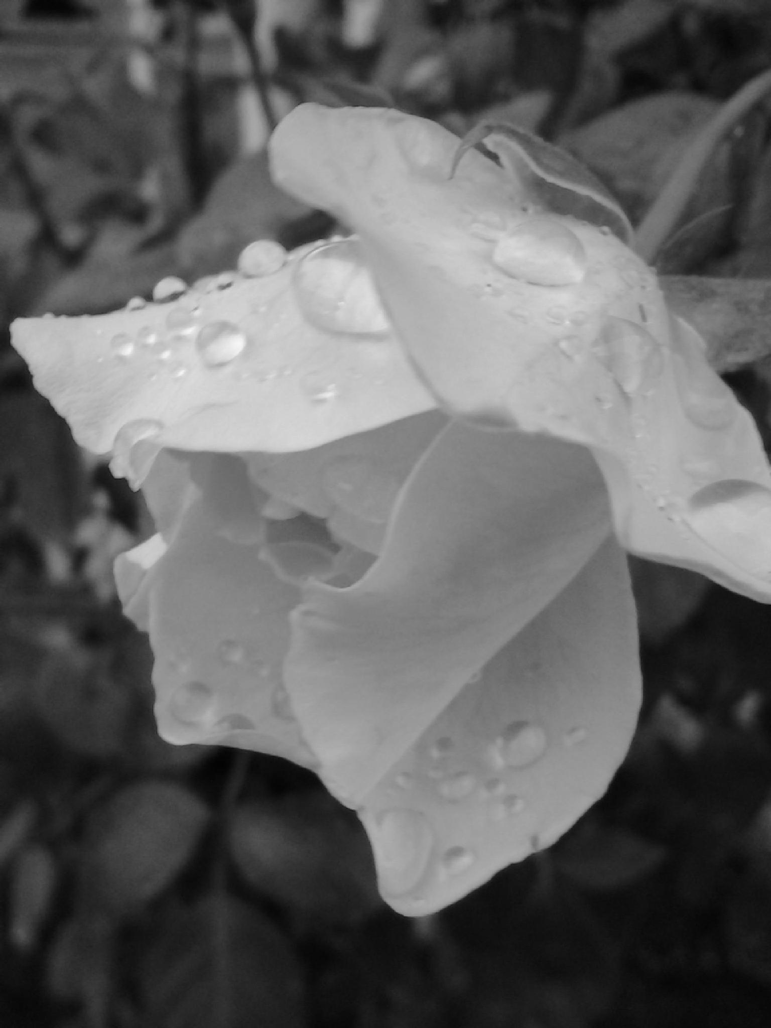 Raindrops On Rose by Lucy Jones Photography