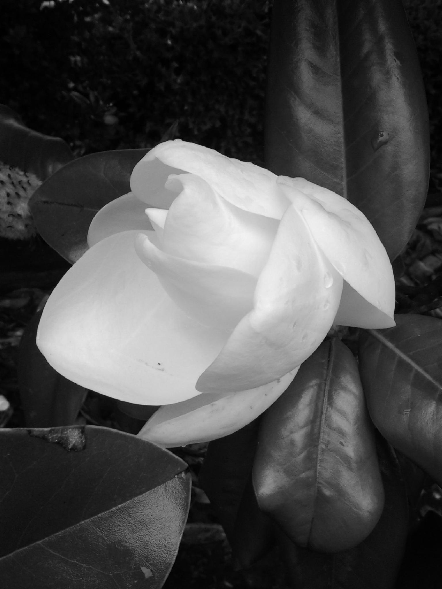 Magnolia Bloom by Lucy Jones Photography