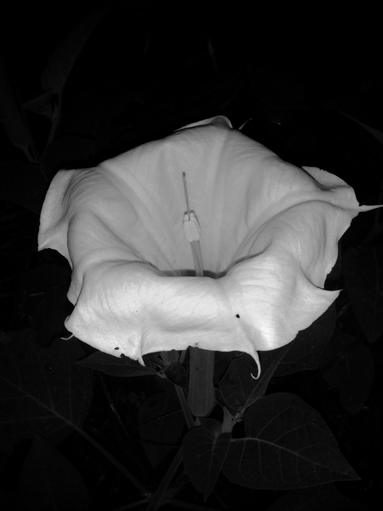 Datura Bloom #2 by Lucy Jones Photography