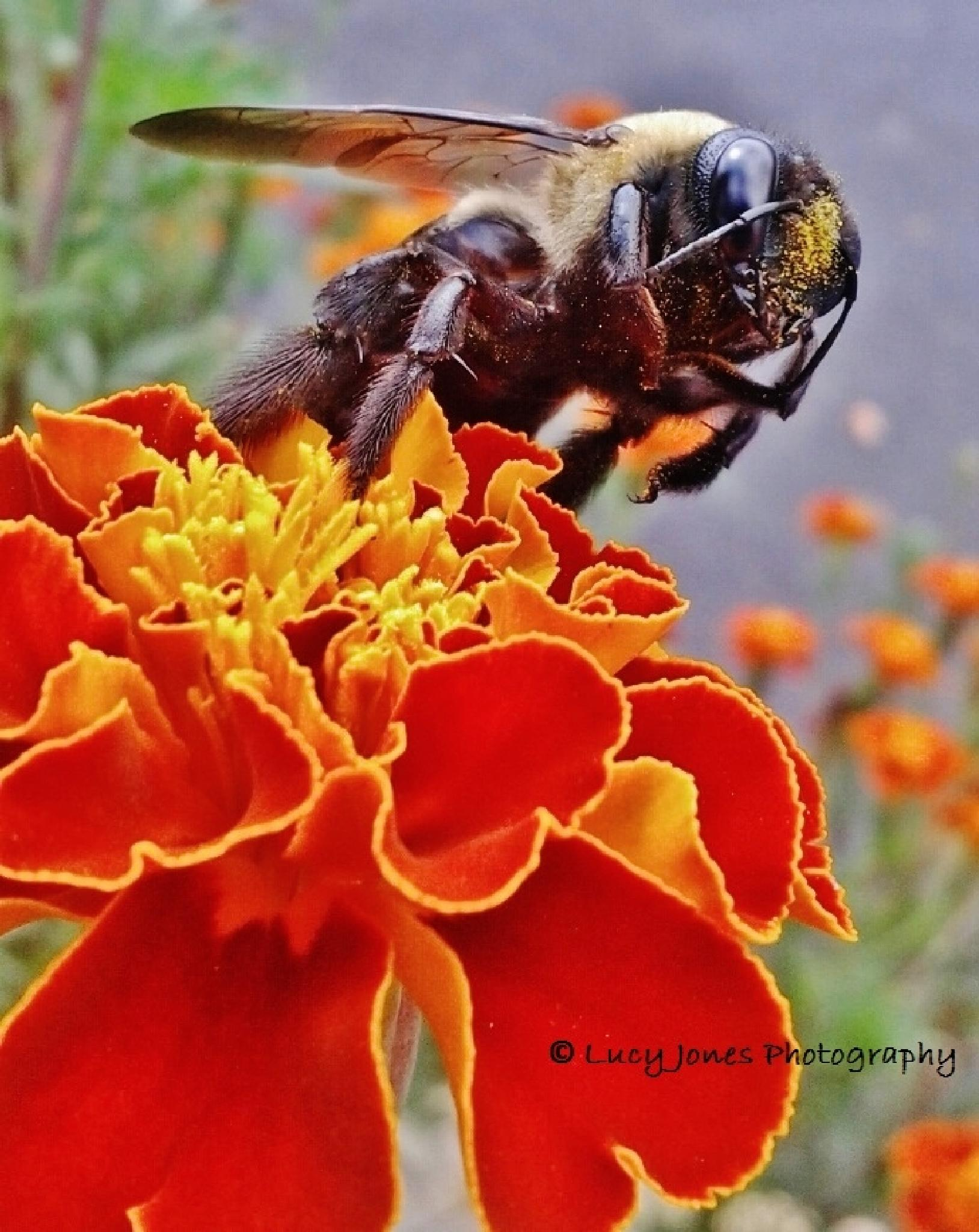 Bumble Bee On Marigold by Lucy Jones Photography