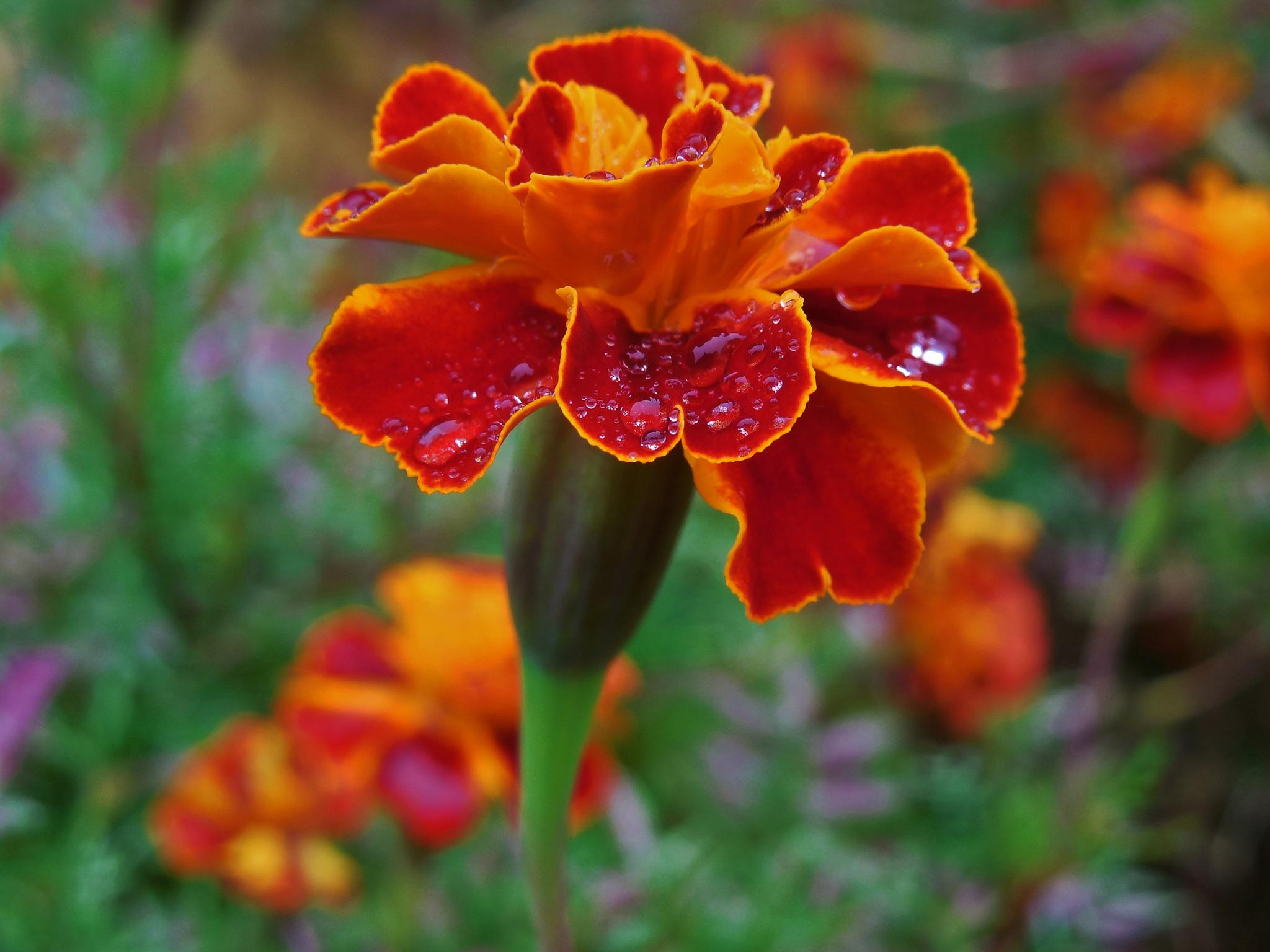 Rain On Marigold by Lucy Jones Photography