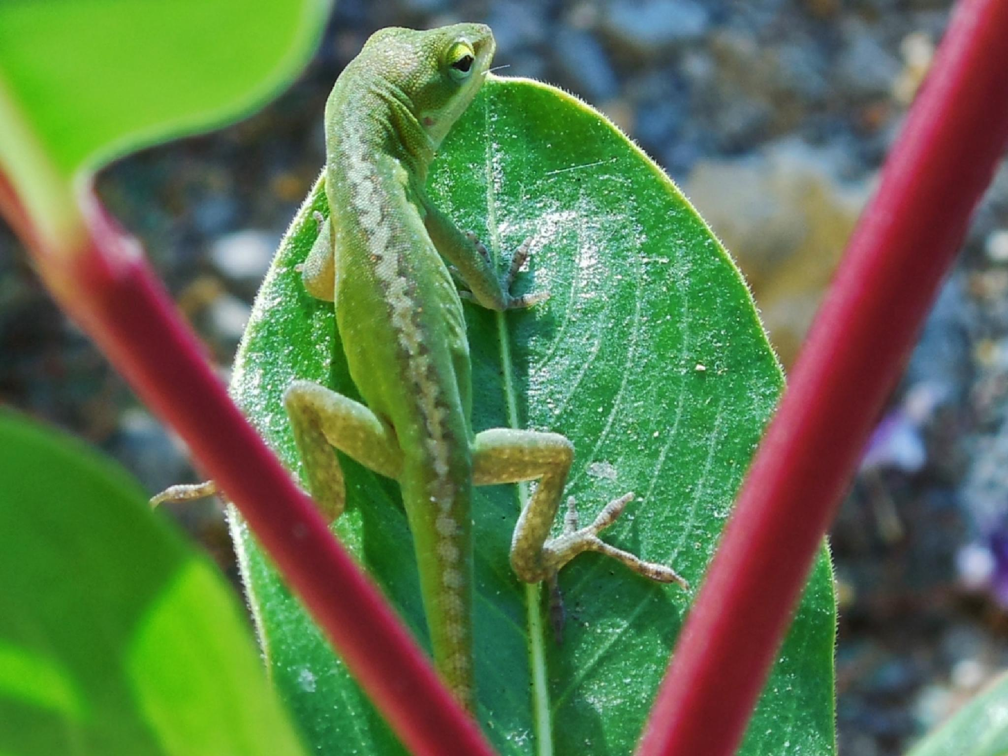 Anole #5 by Lucy Jones Photography