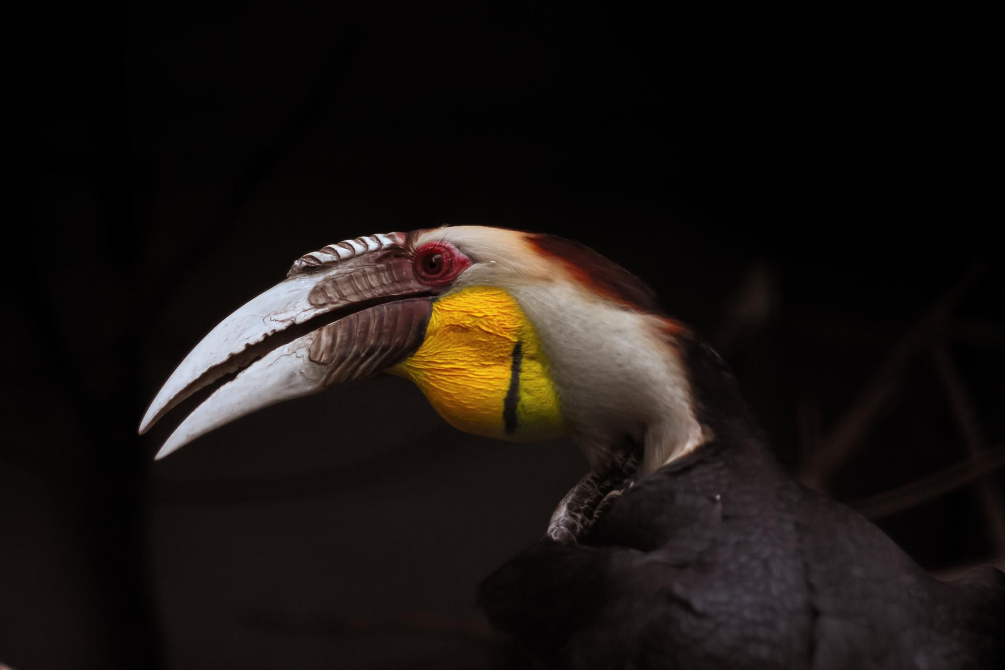 Wreathed Hornbill by Eugene Campbell