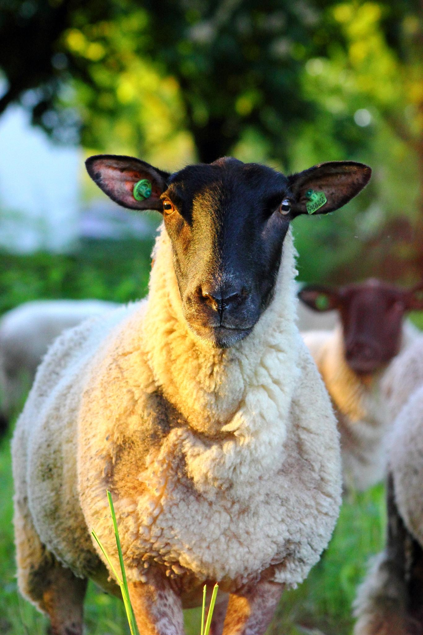 Attentive sheep by Jette Reitsma
