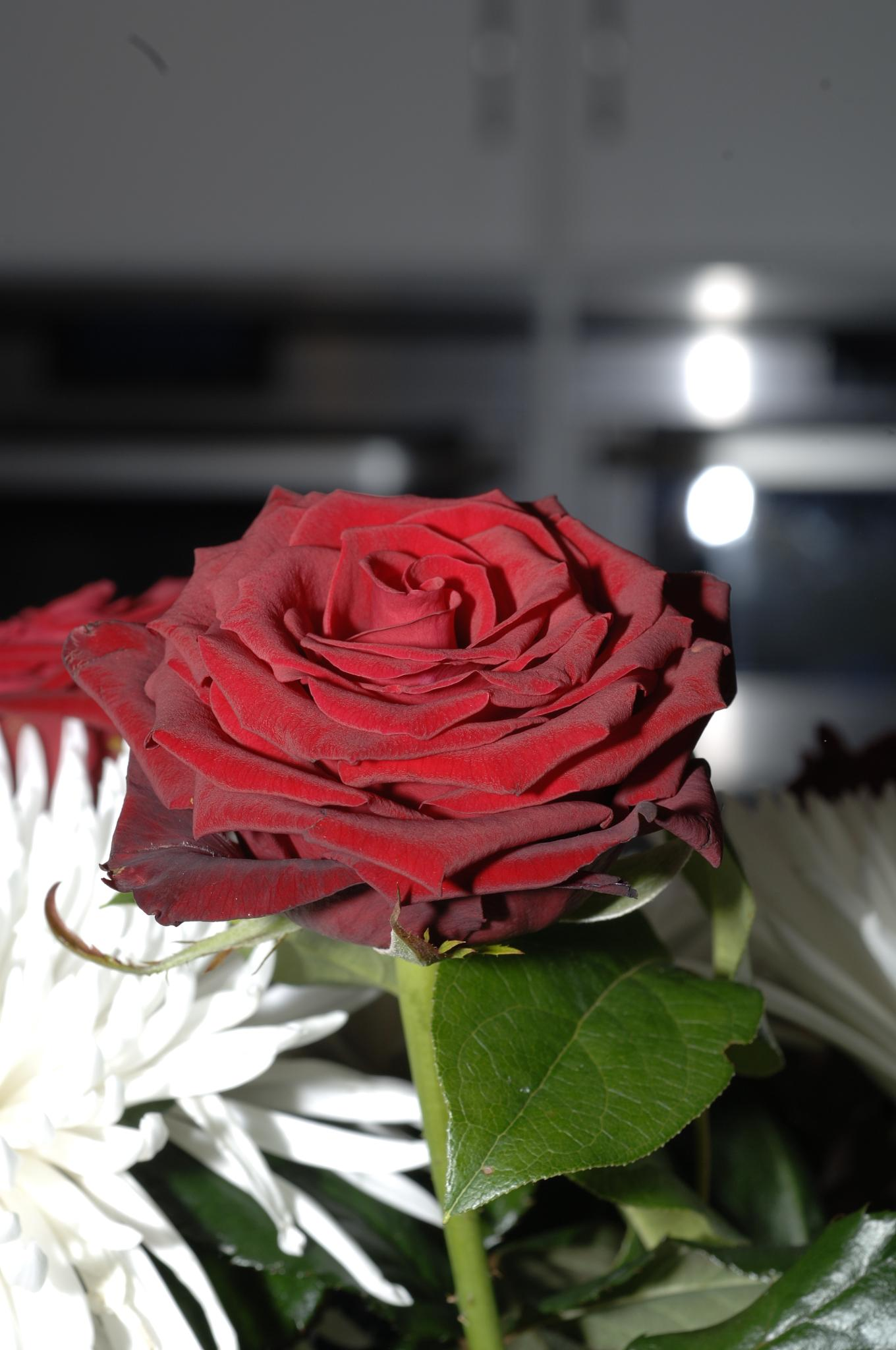 my red rose by Tom Augo Lynge