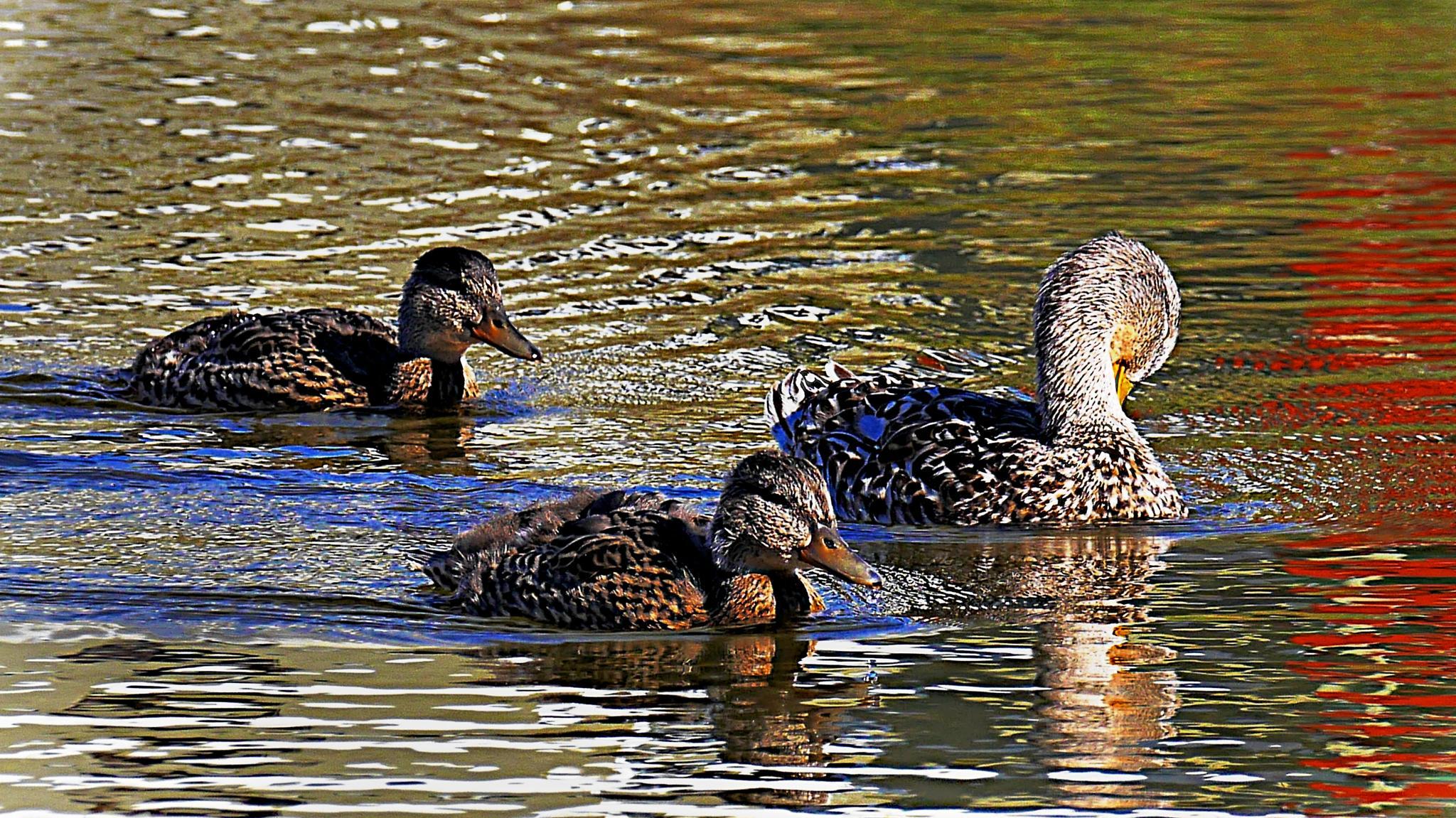 more greenlandic duck. by Tom Augo Lynge