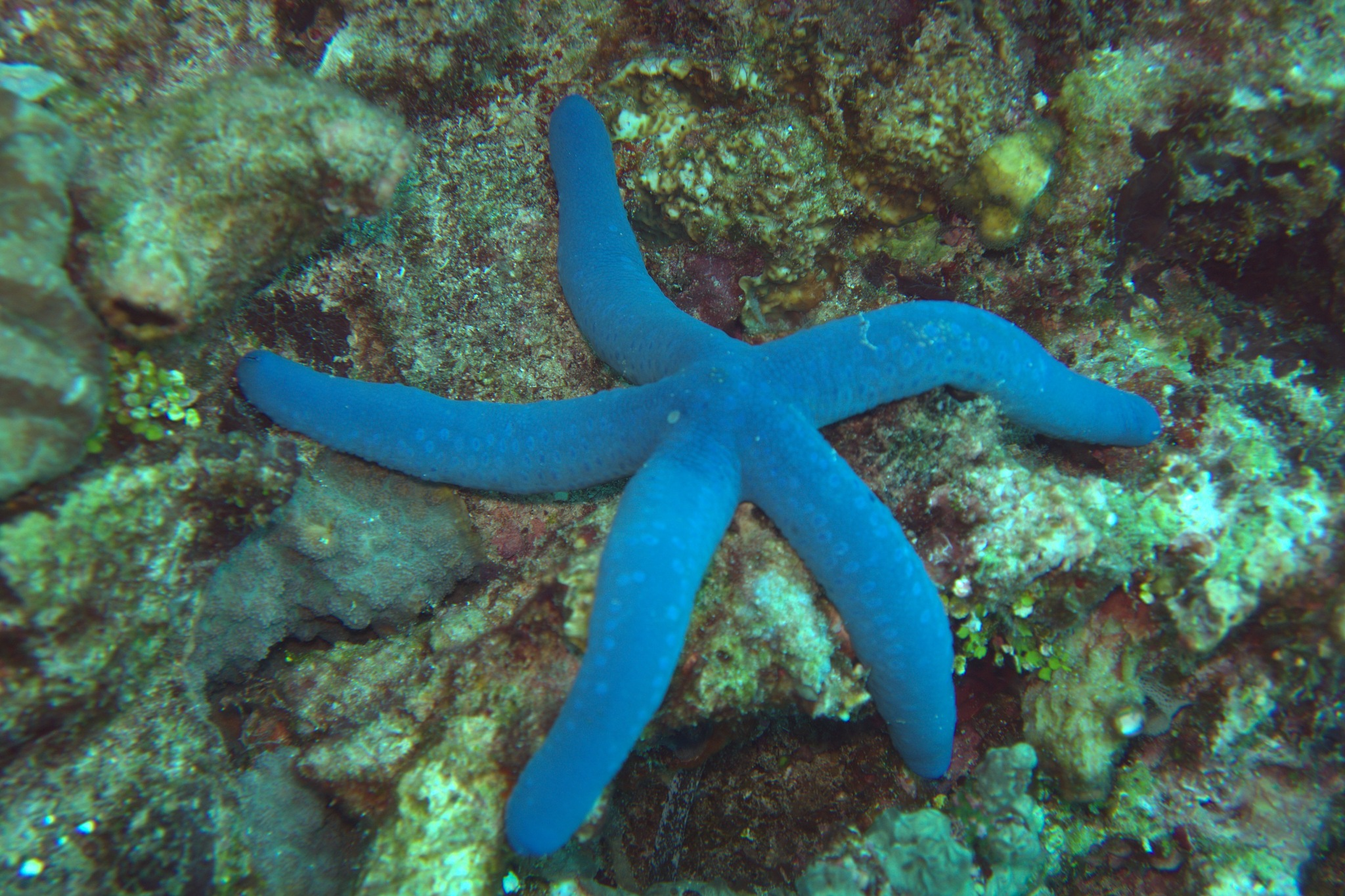 Blue star fish by Nico van Os Fine art
