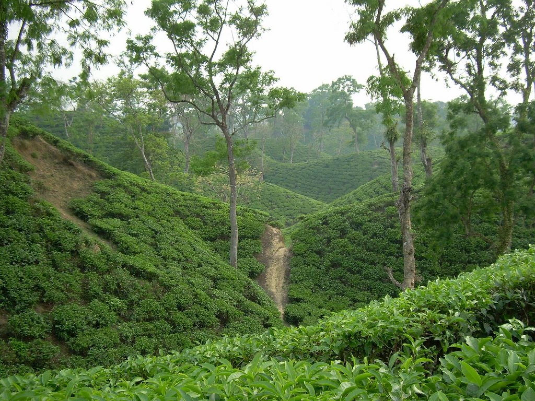 Tea Garden by Tawfiq Chowdhury