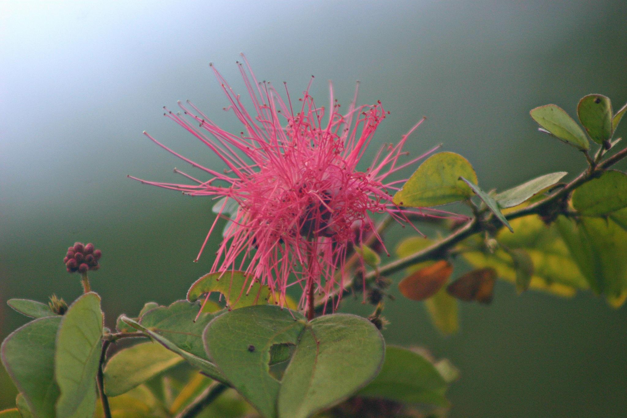 PINK FLOWER BUD by bechcomber444