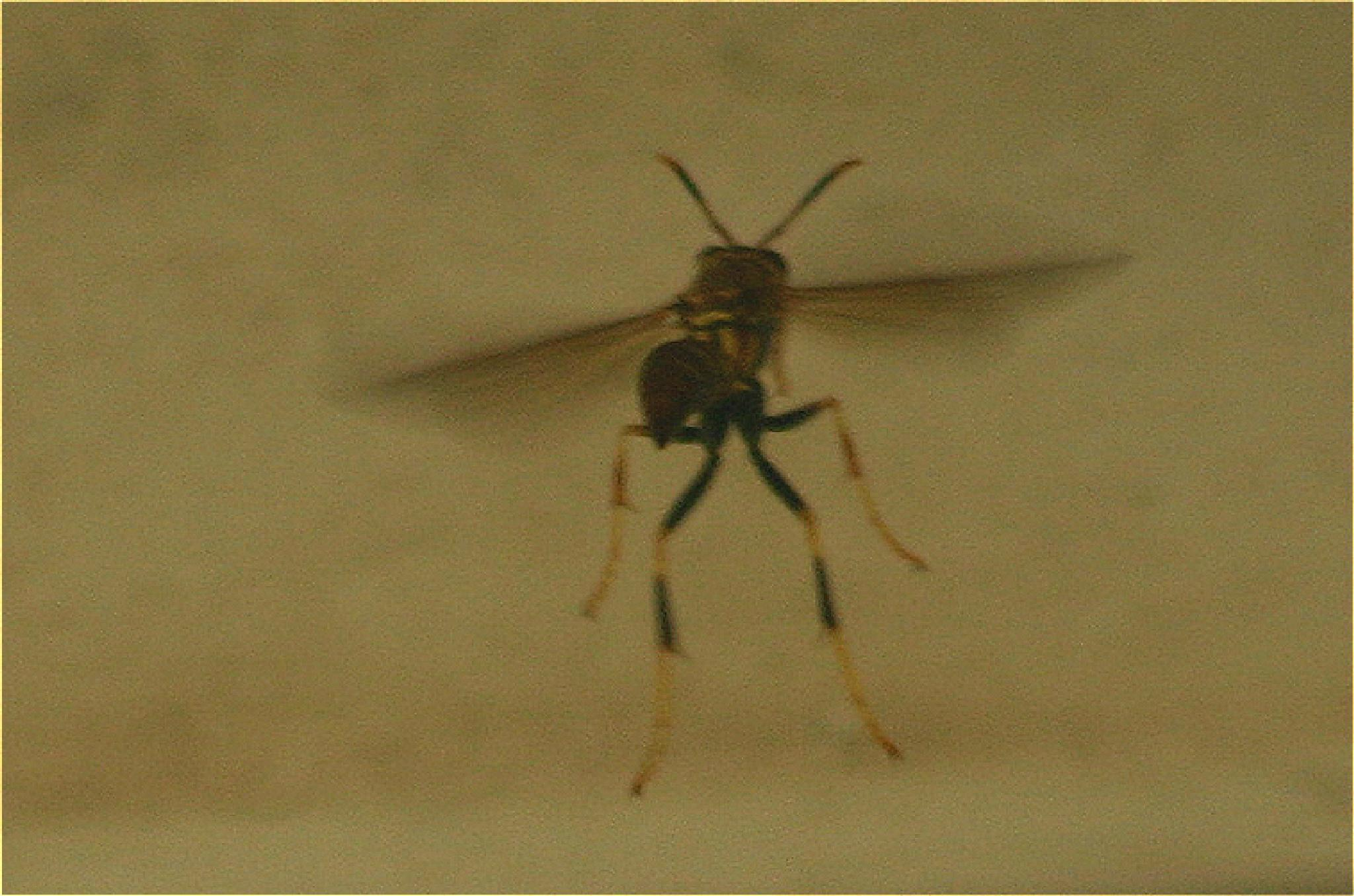 WASP by bechcomber444