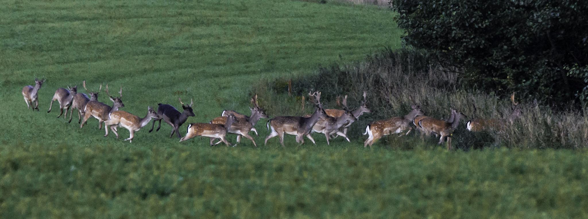 A herd of fallow deer running amok by digitu2