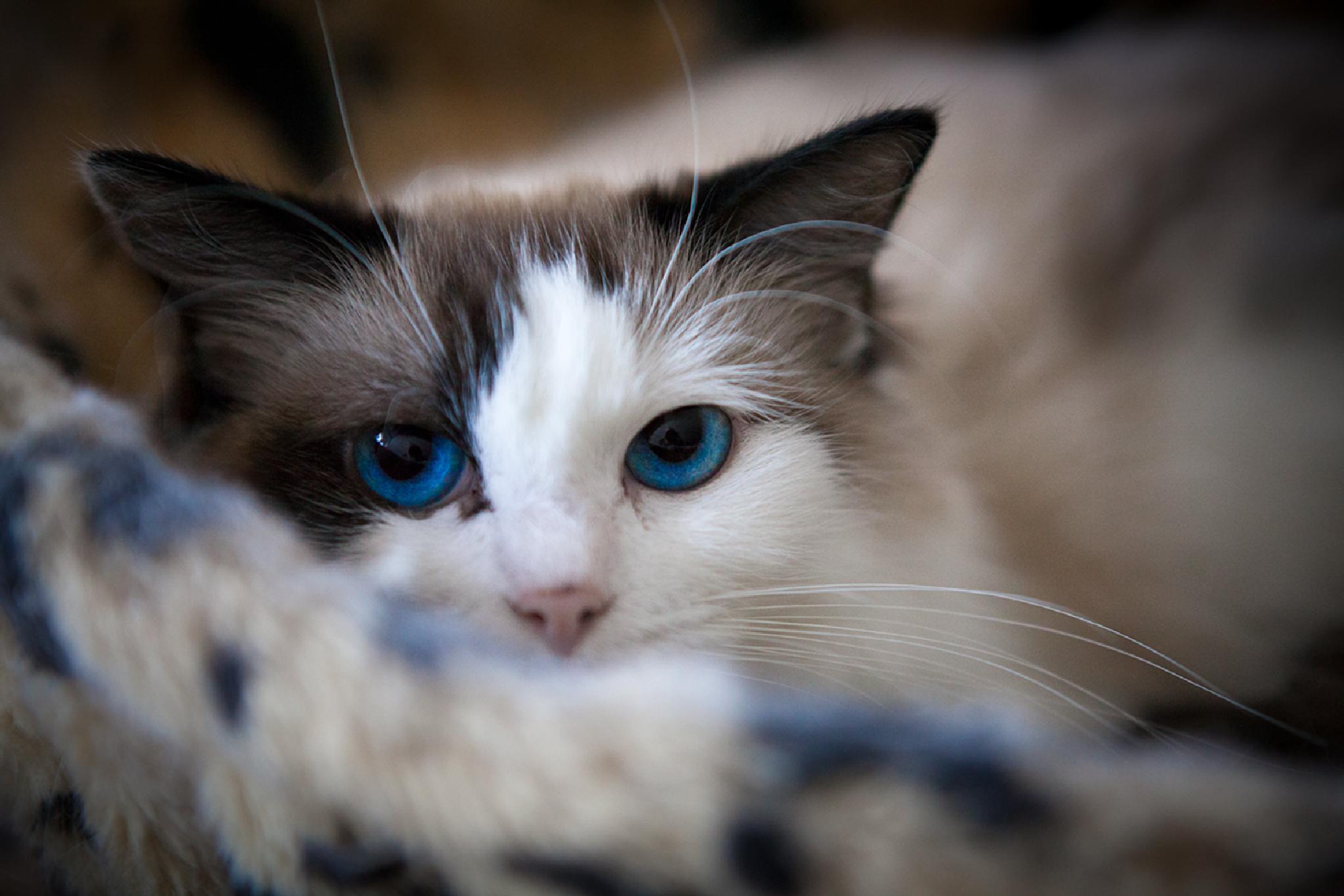 Ragdoll my blue-eyed cat by digitu2