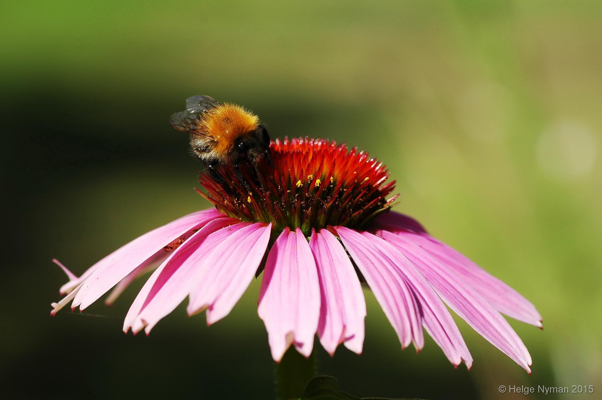 Bumblebee on flower by Helge Nyman