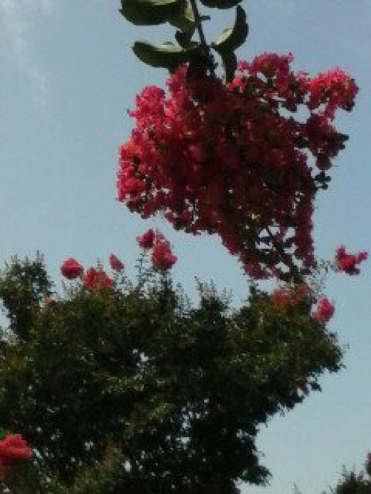 Crape Myrtle tree by deniseshull.hardenburg