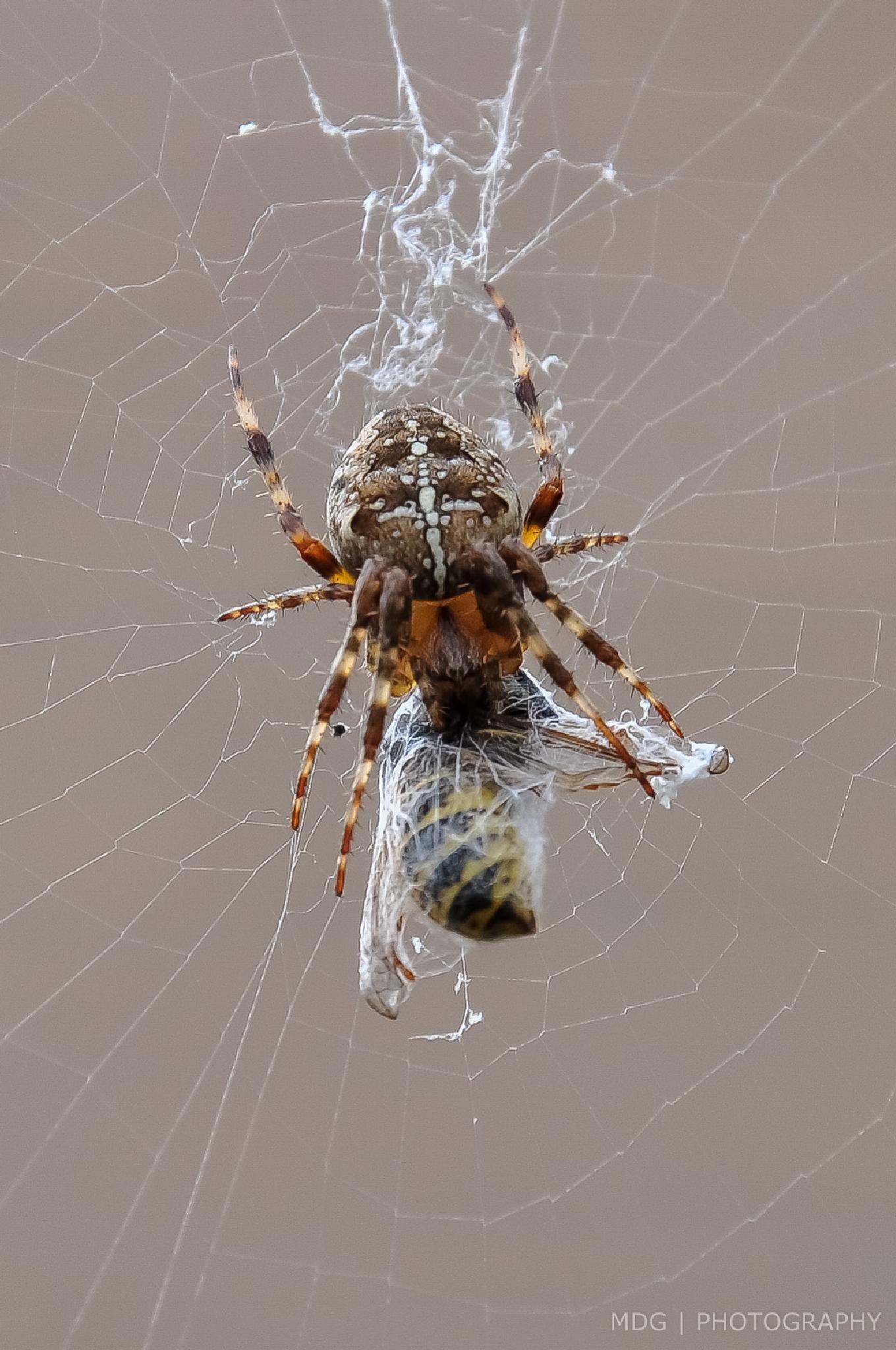Photo in Animal #spider #dukemeister