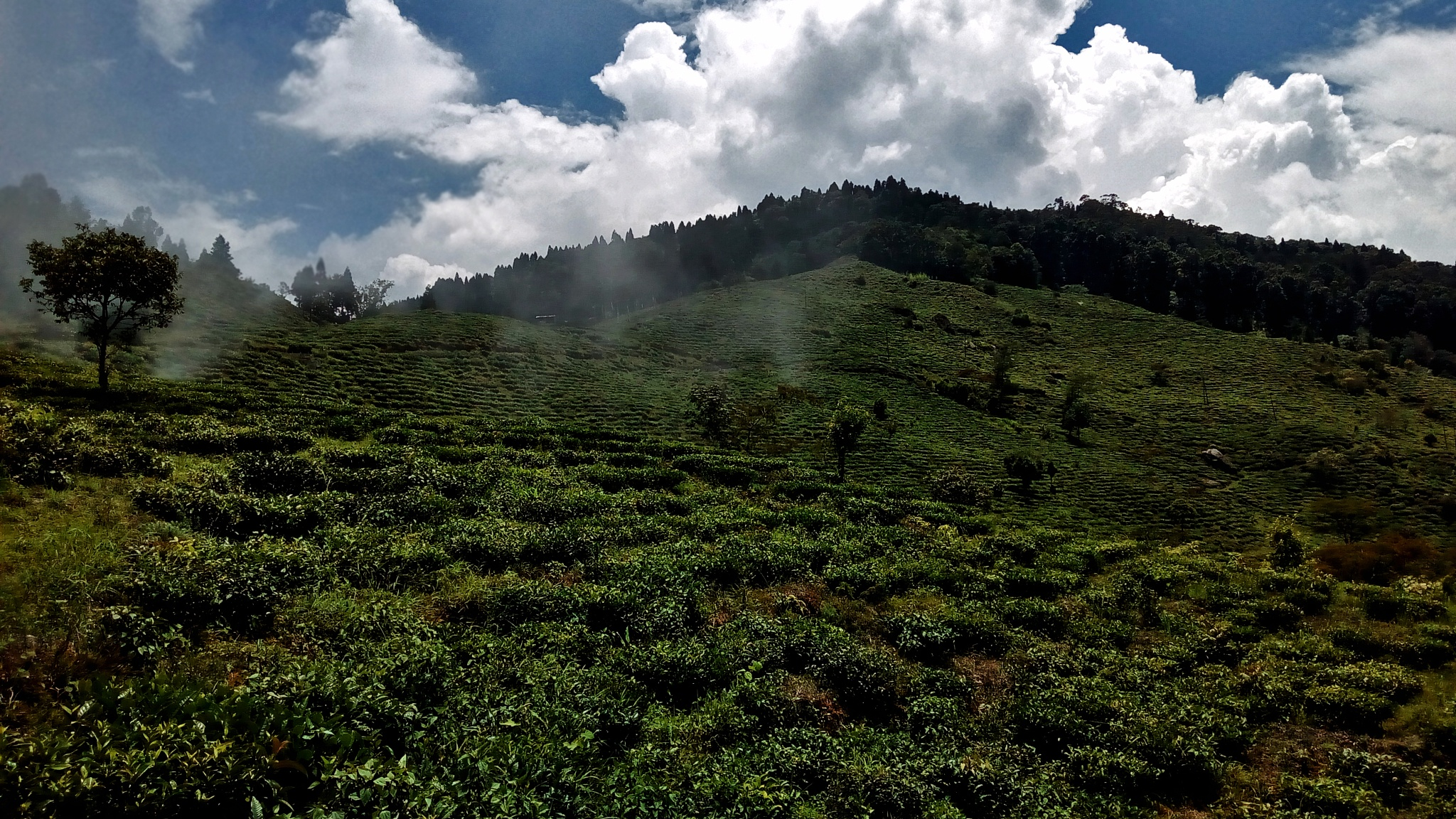 Photo in Landscape #nature #india #darjeeling #landscape #garden #tea garden #travel #hills #clouds
