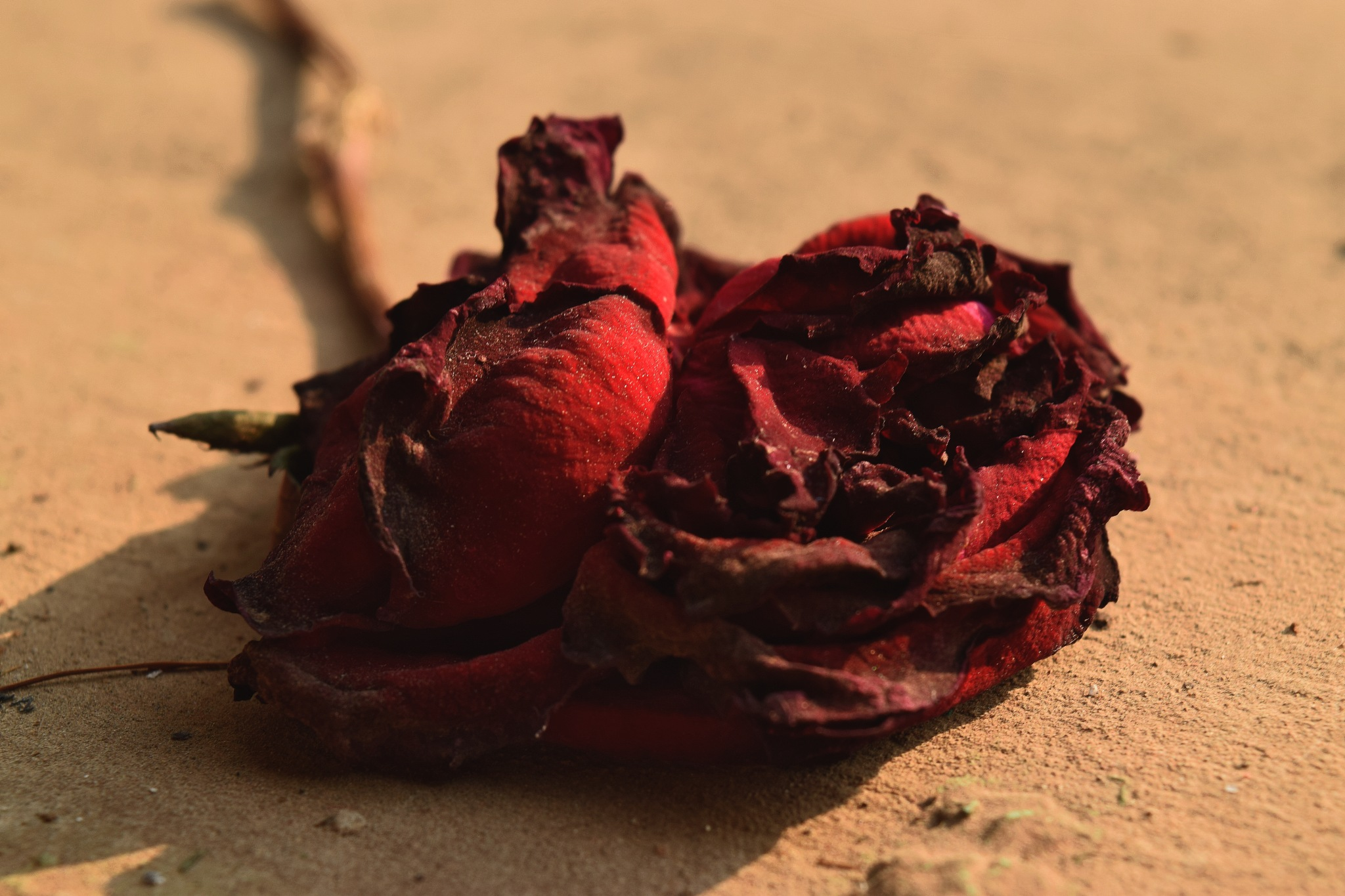 Oh Rose! by ArpanSardar