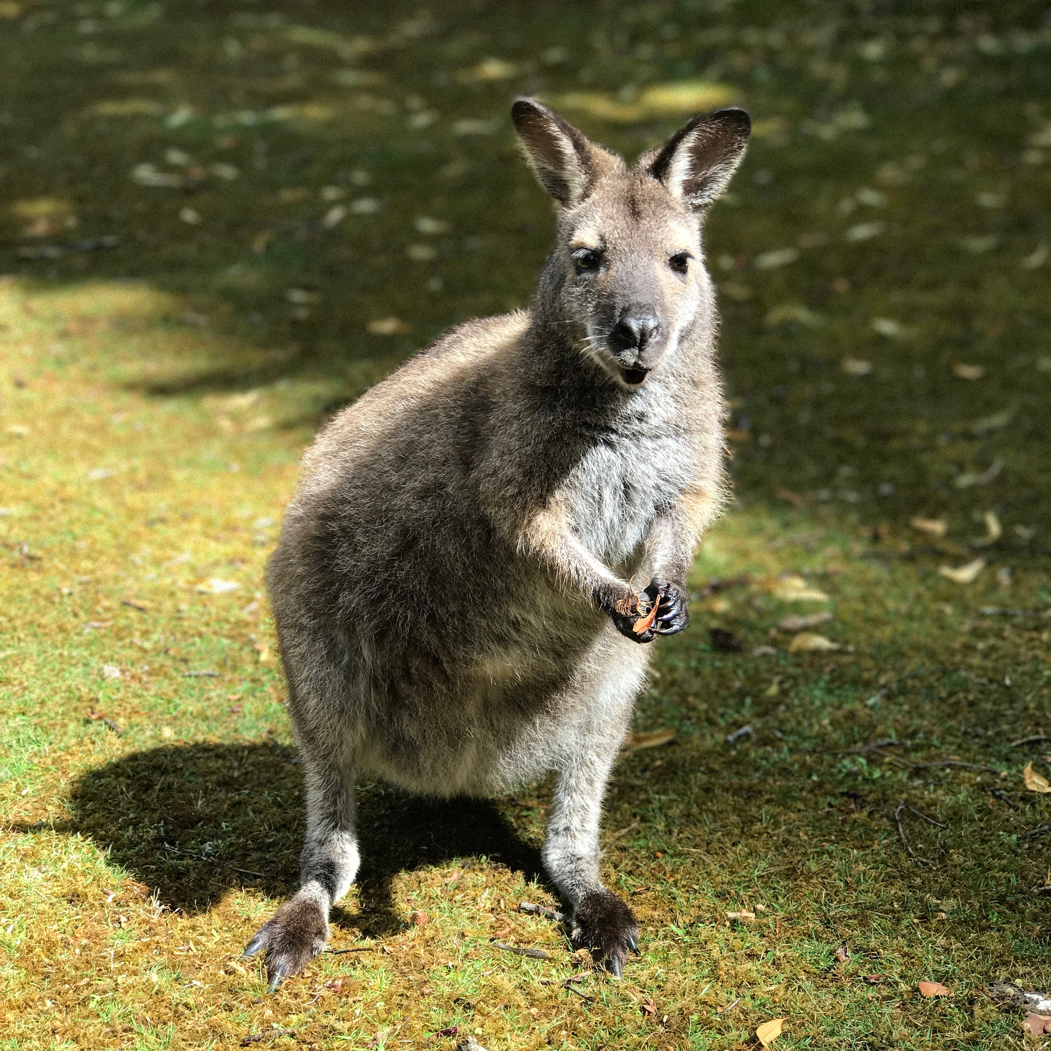 Wallaby by Johnny