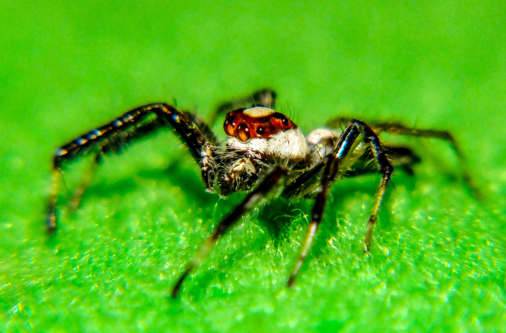 Jumping Spider by Firman OS