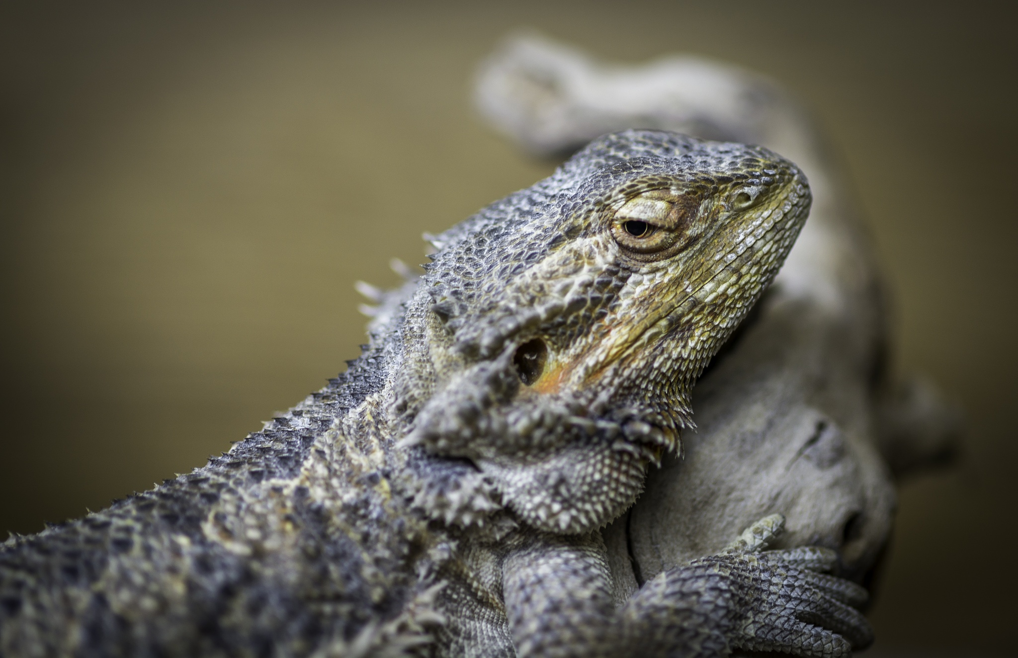 Bearded dragon by D.W.Images