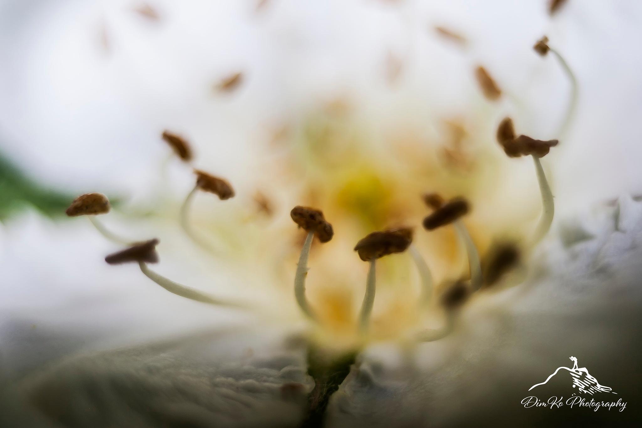 Flower 1 by dimce.korunoski
