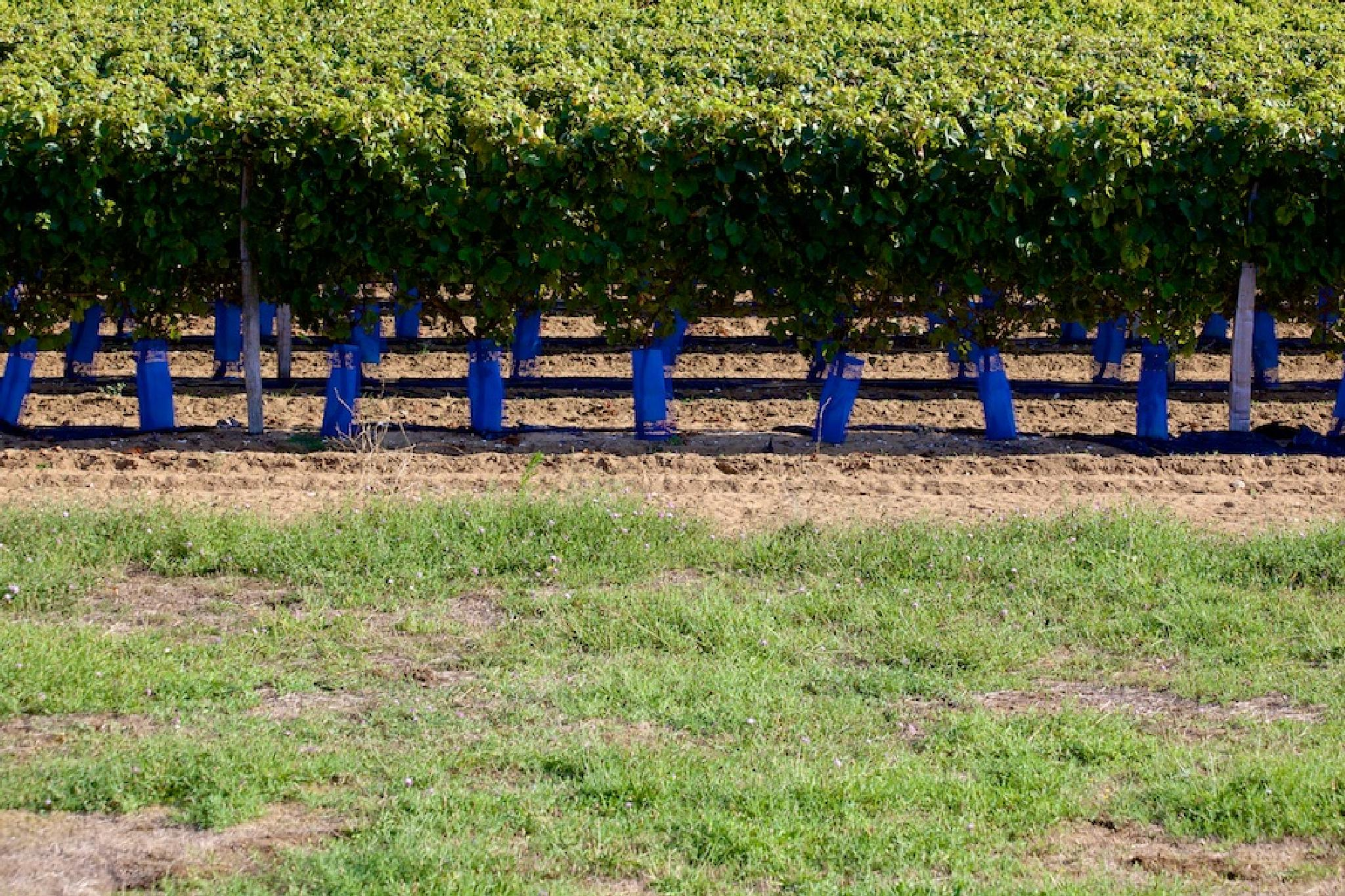 Vineyard in Green and Blue by christian.nesler1
