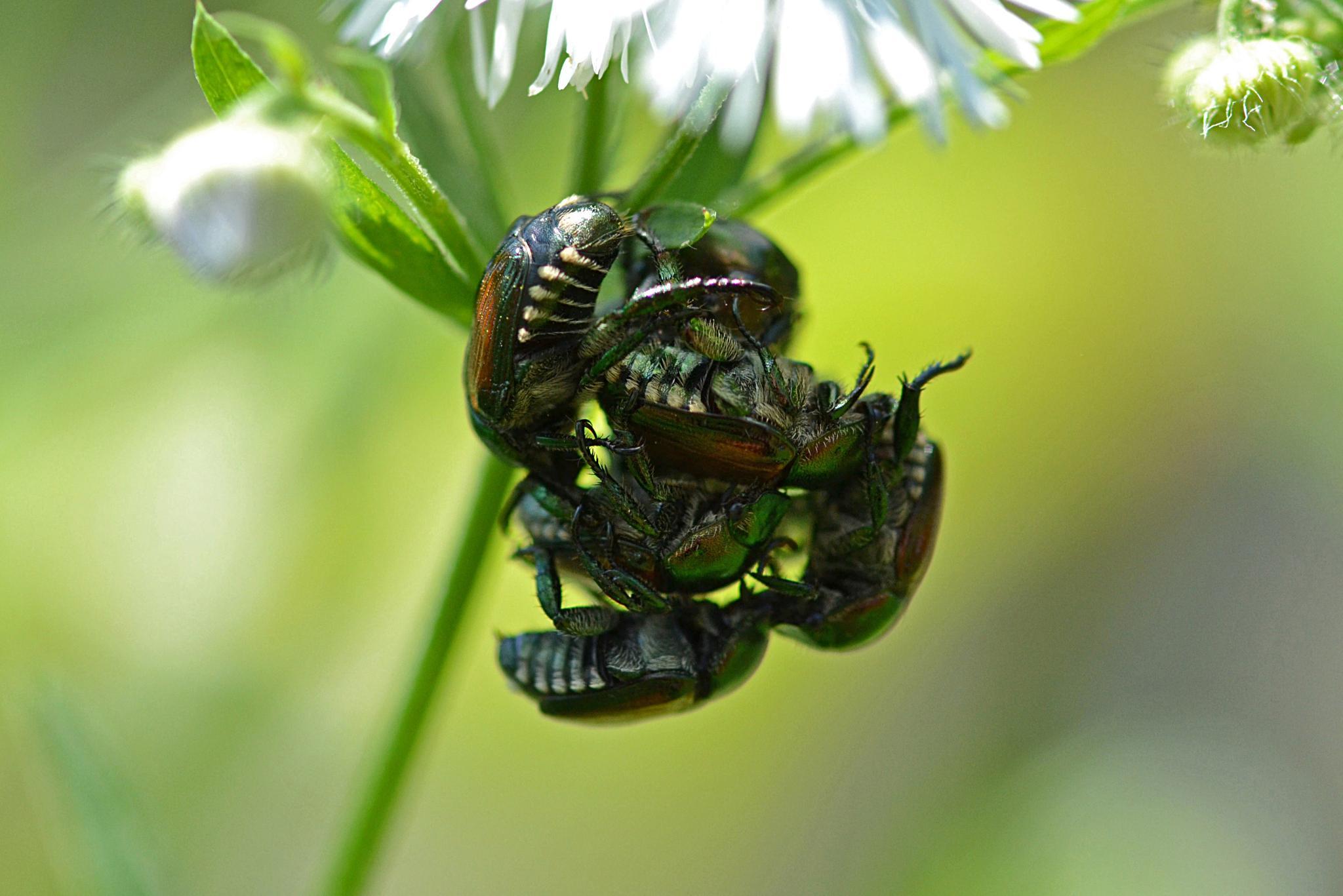 Beetle Love by Bill B.