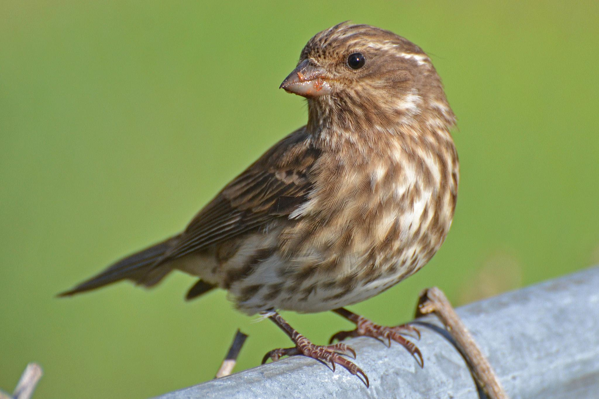 Photo in Animal #finch #bird #nature #house finch
