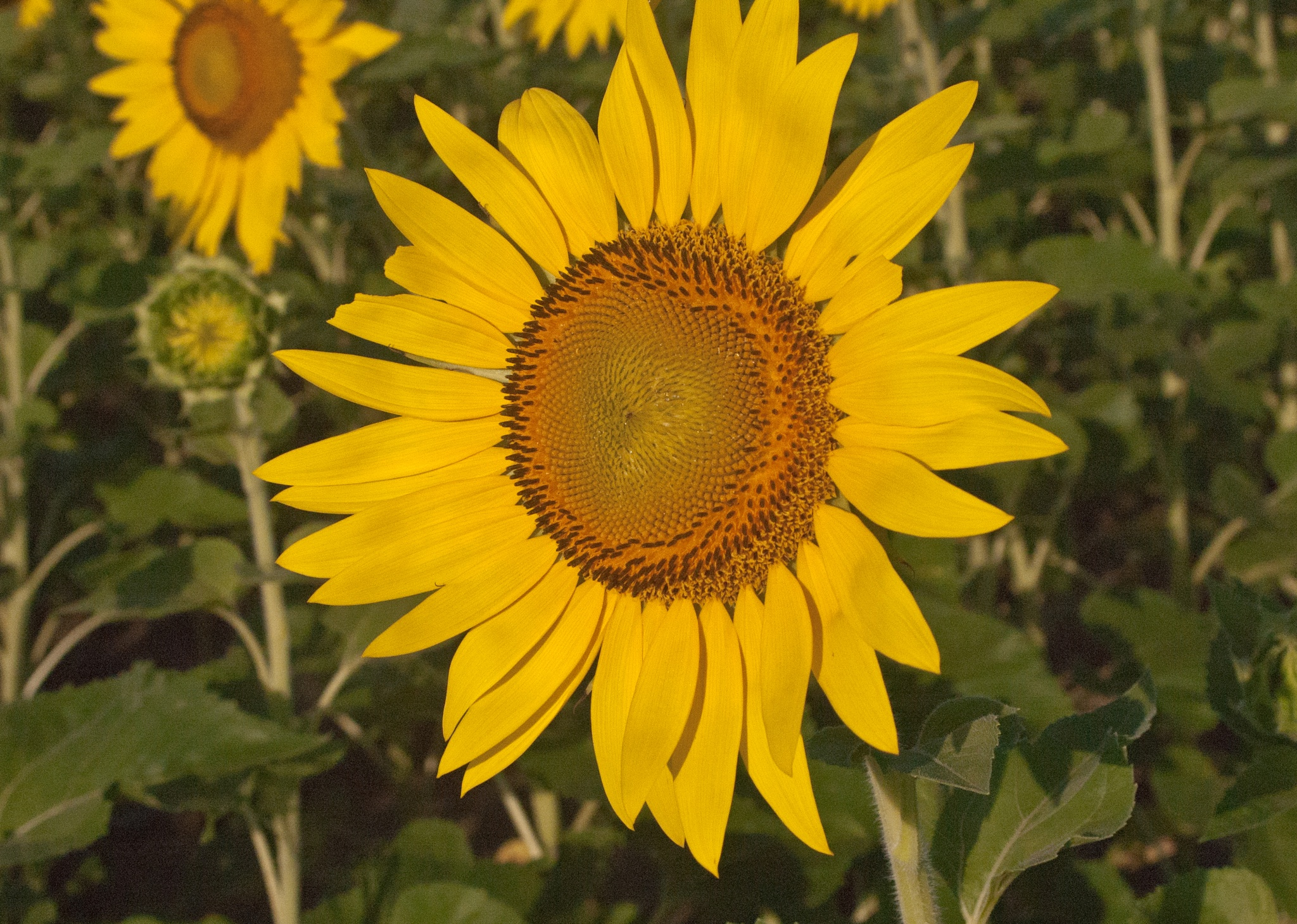 Sunflower 1 by Brady Williams