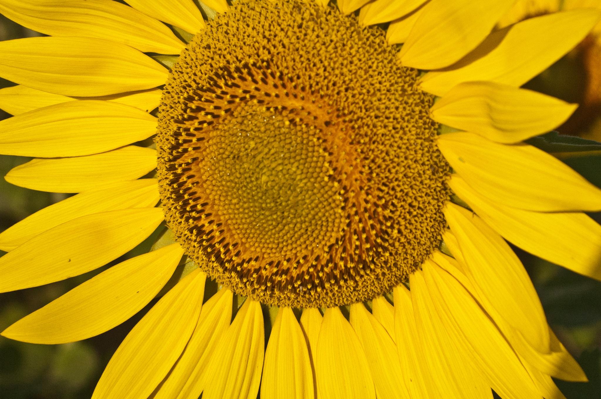 Sunflower 3 by Brady Williams