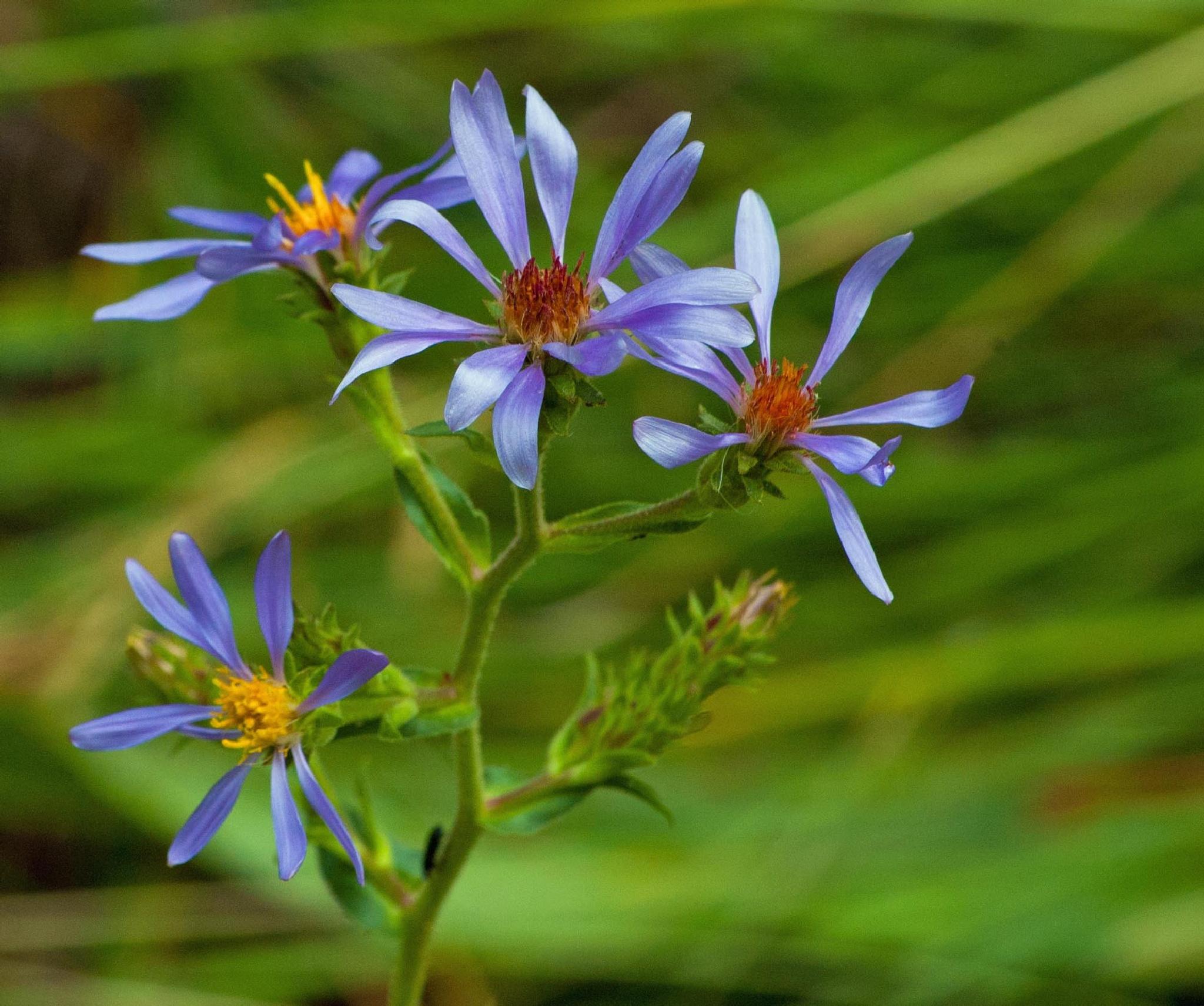 Blue Aster by Brady Williams