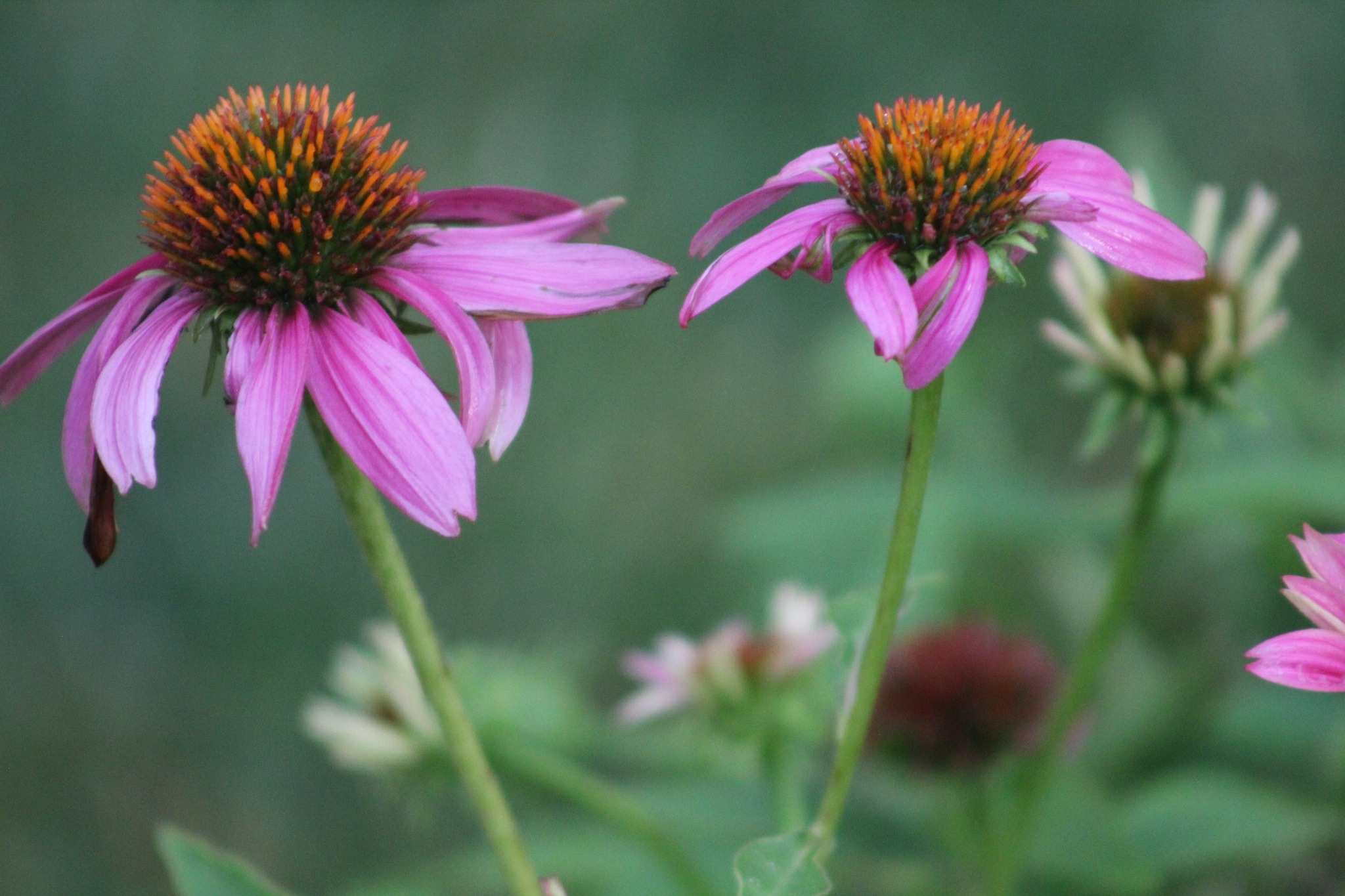 pink flowers by mary.c.bergin.3