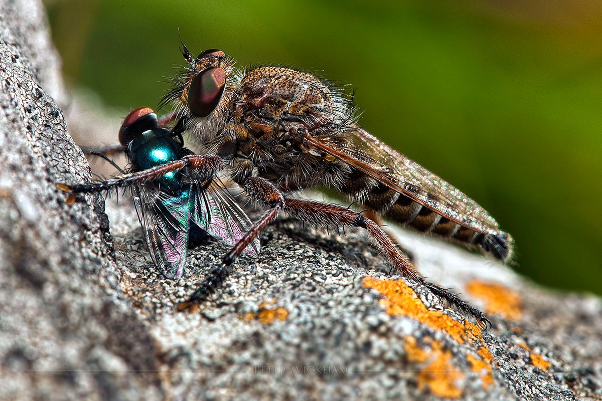 Robberfly and housefly by peter.wickham3