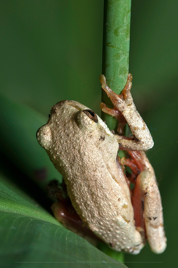 Painted reed frog by peter.wickham3