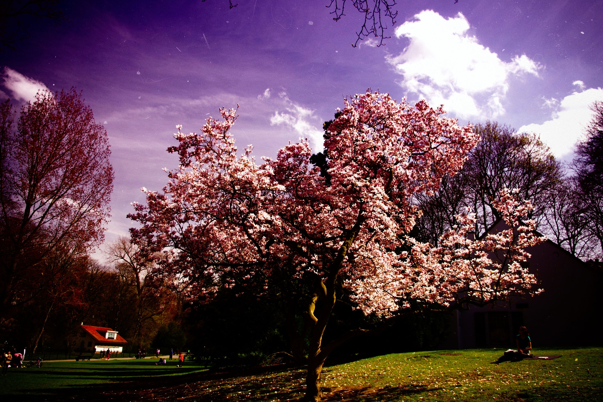 Blooming cherry tree in Brussels. by Emil Gawkowski