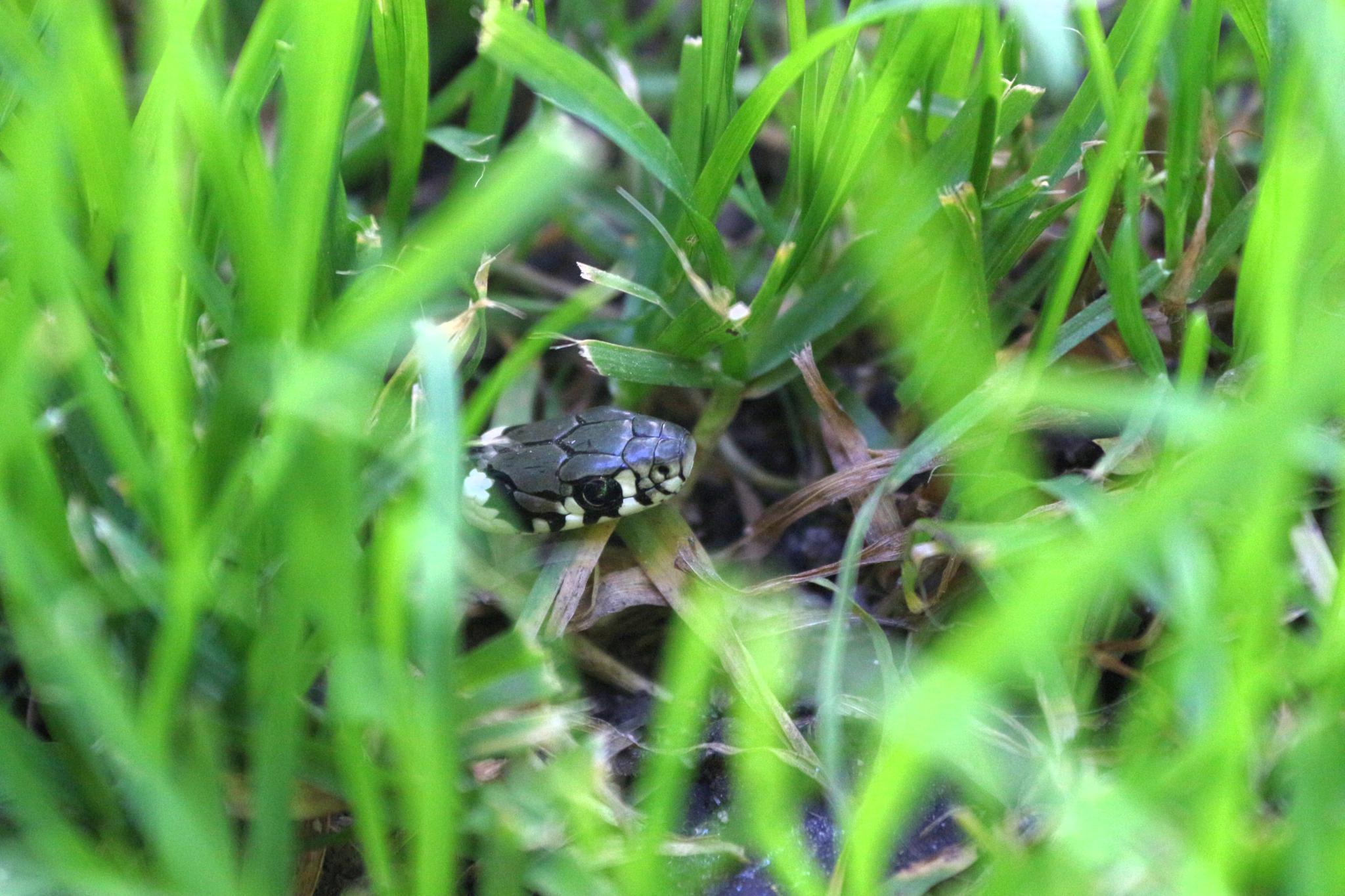 Snake in the grass by Andraž Sodja